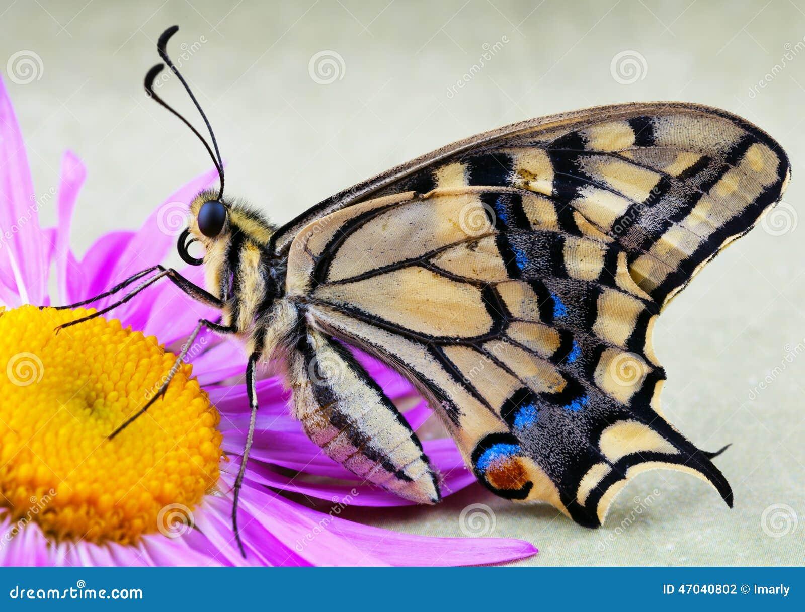Borboleta masculina do swallowtail do tigre na flor