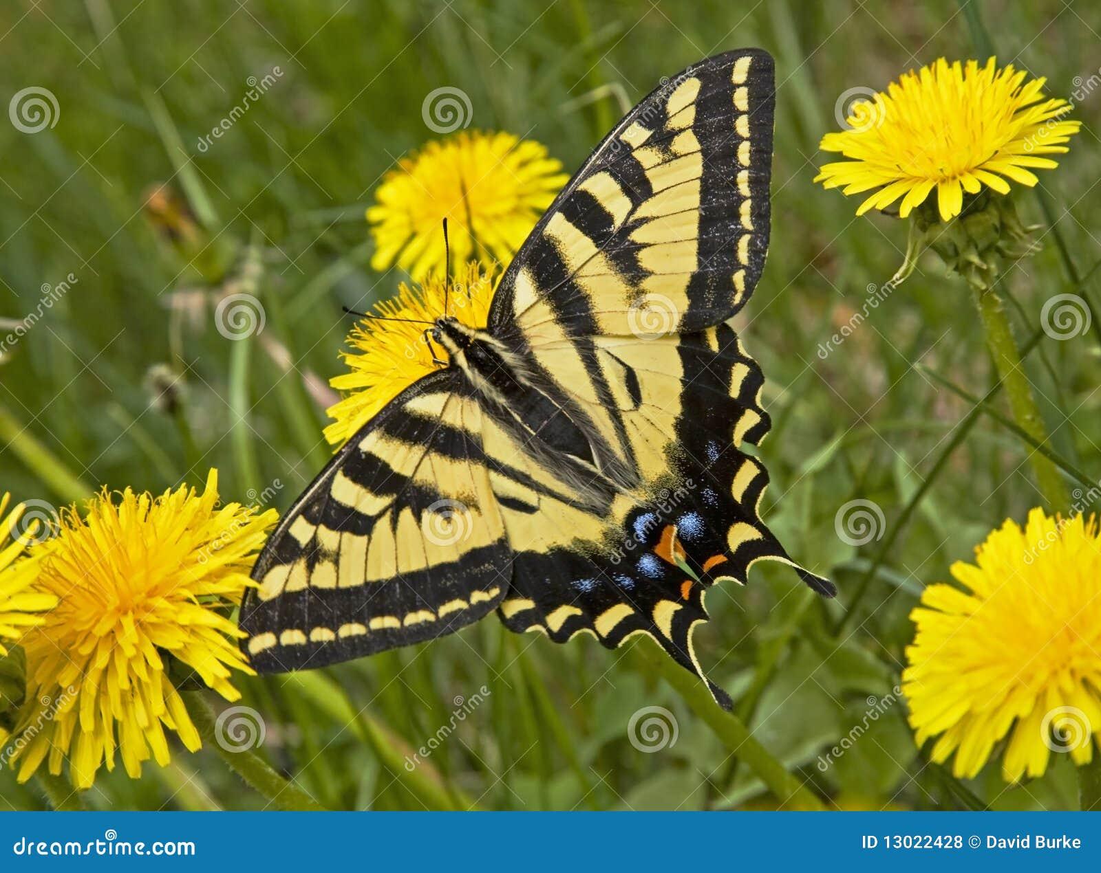 Borboleta ocidental de Swallowtail