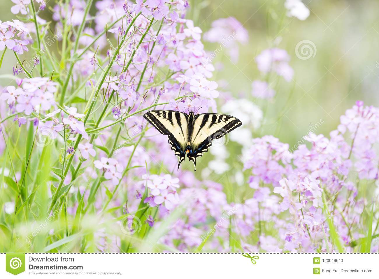 Borboleta ocidental de Swallowtail do tigre