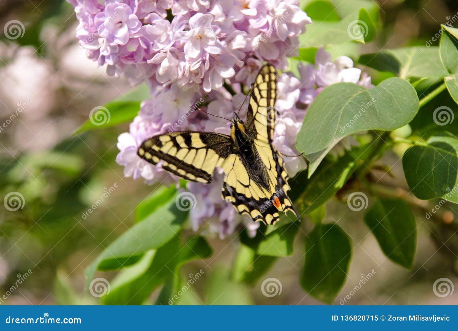 Borboleta oriental do swallowtail do tigre na mola no jardim com as flores roxas da árvore lilás do syringa Estação de mola