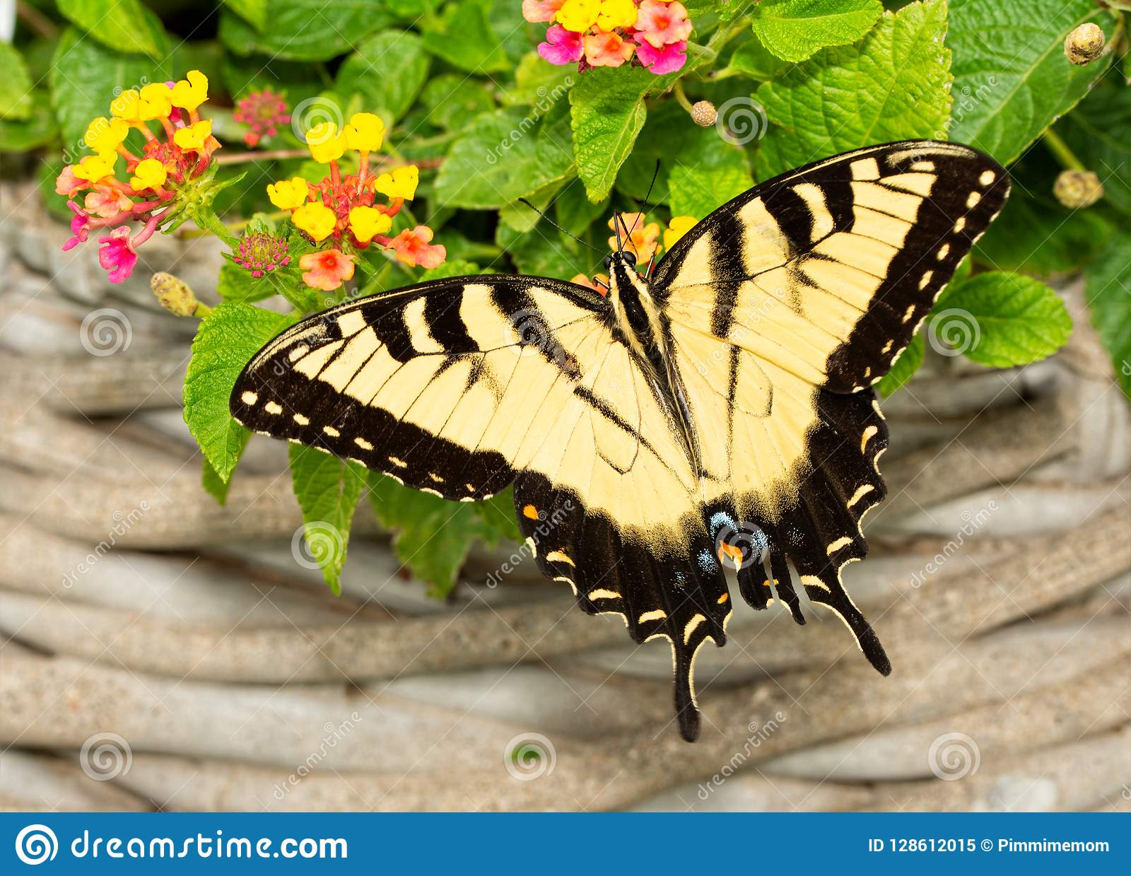 Borboleta oriental masculina de Tiger Swallowtail que alimenta em flores do Lantana