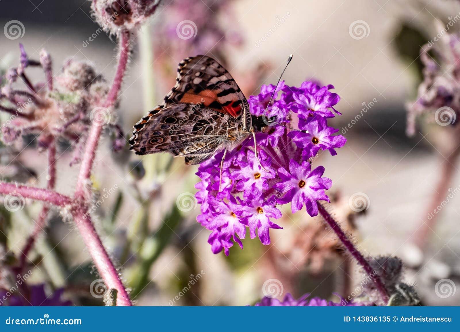 Borboleta pintada em um wildflower de Villosa do Abronia do verbena de areia, parque estadual do cardui da senhora Vanessa do des