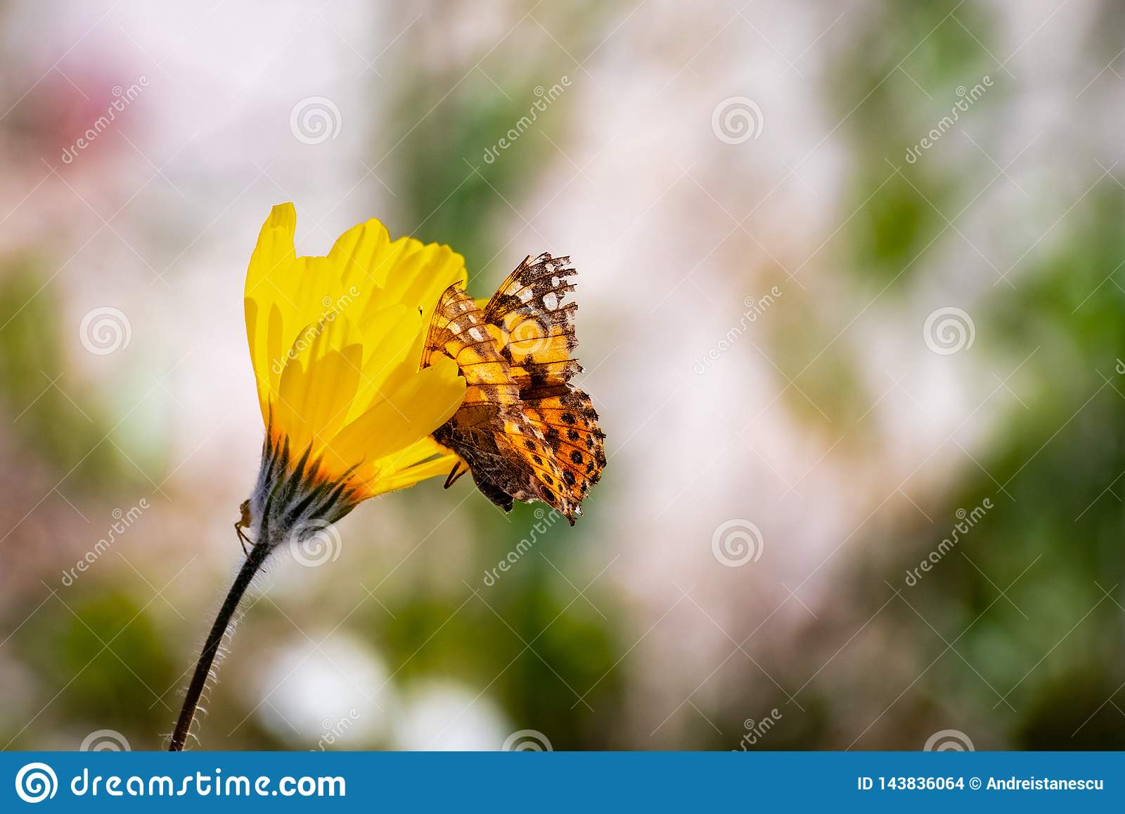 Borboleta pintada em um wildflower dos canescens de Geraea do girassol de deserto, parque estadual do cardui da senhora Vanessa d