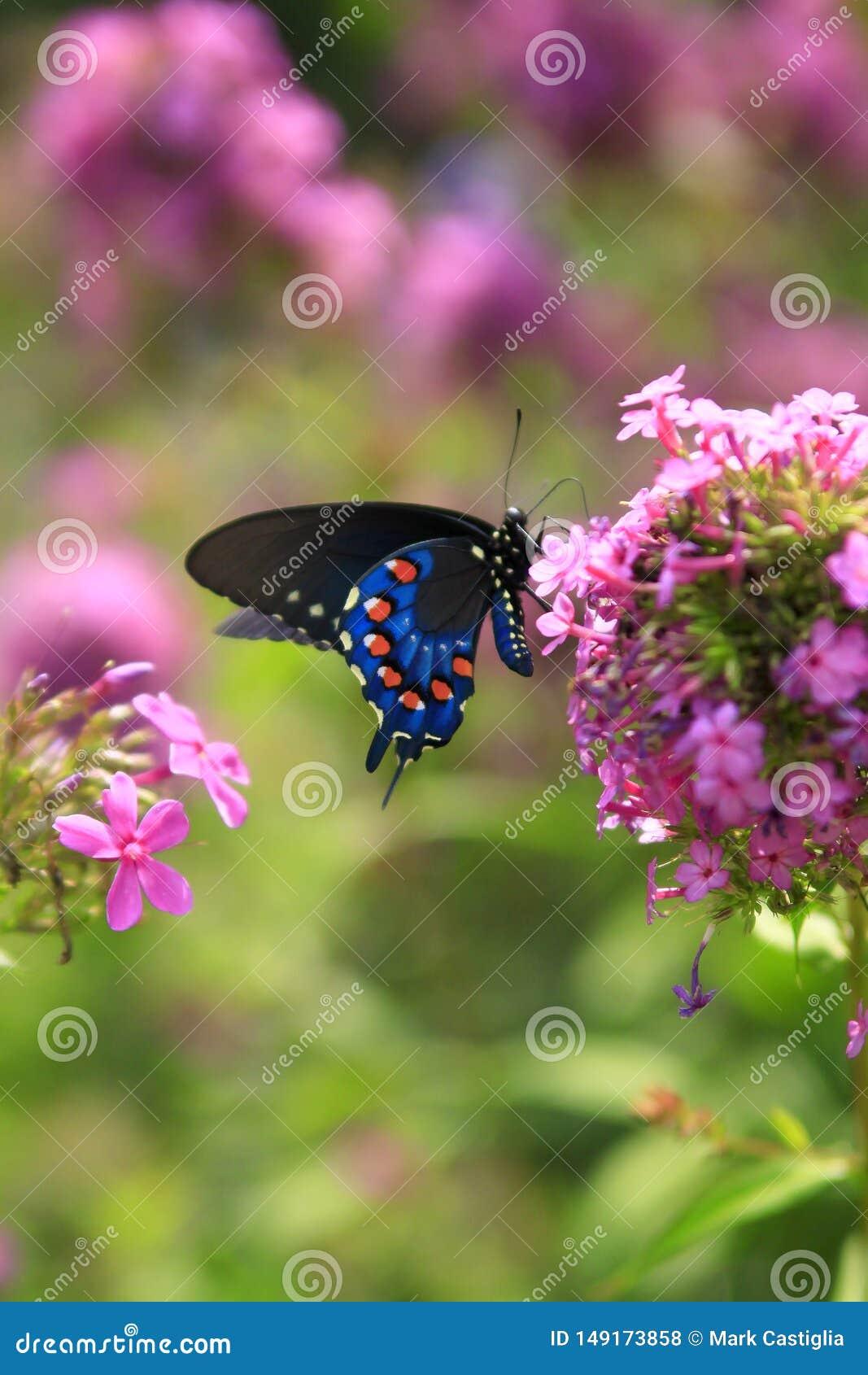 Borboleta preta de Swallowtail em flores cor-de-rosa
