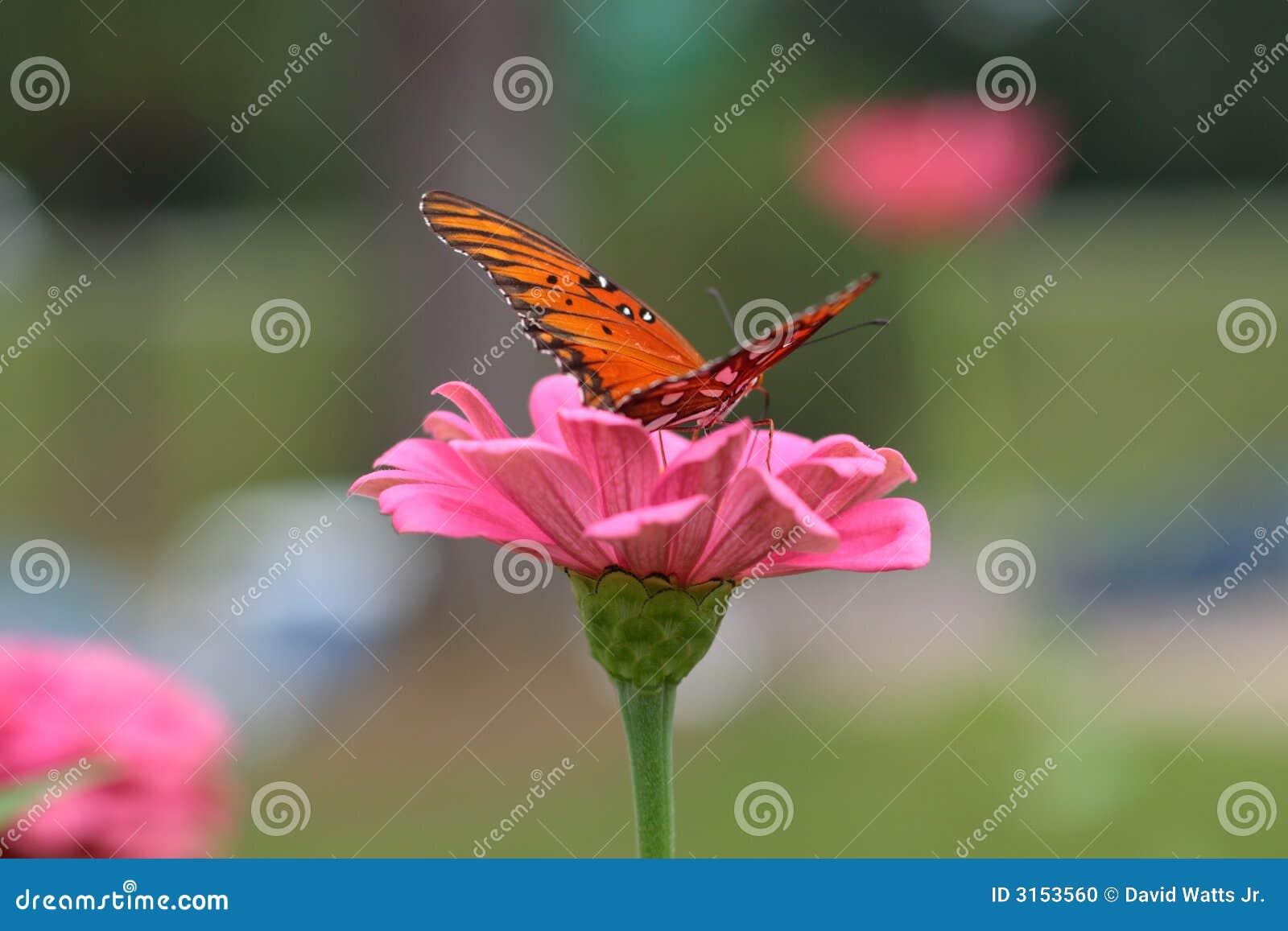 Borboleta que recolhe o néctar