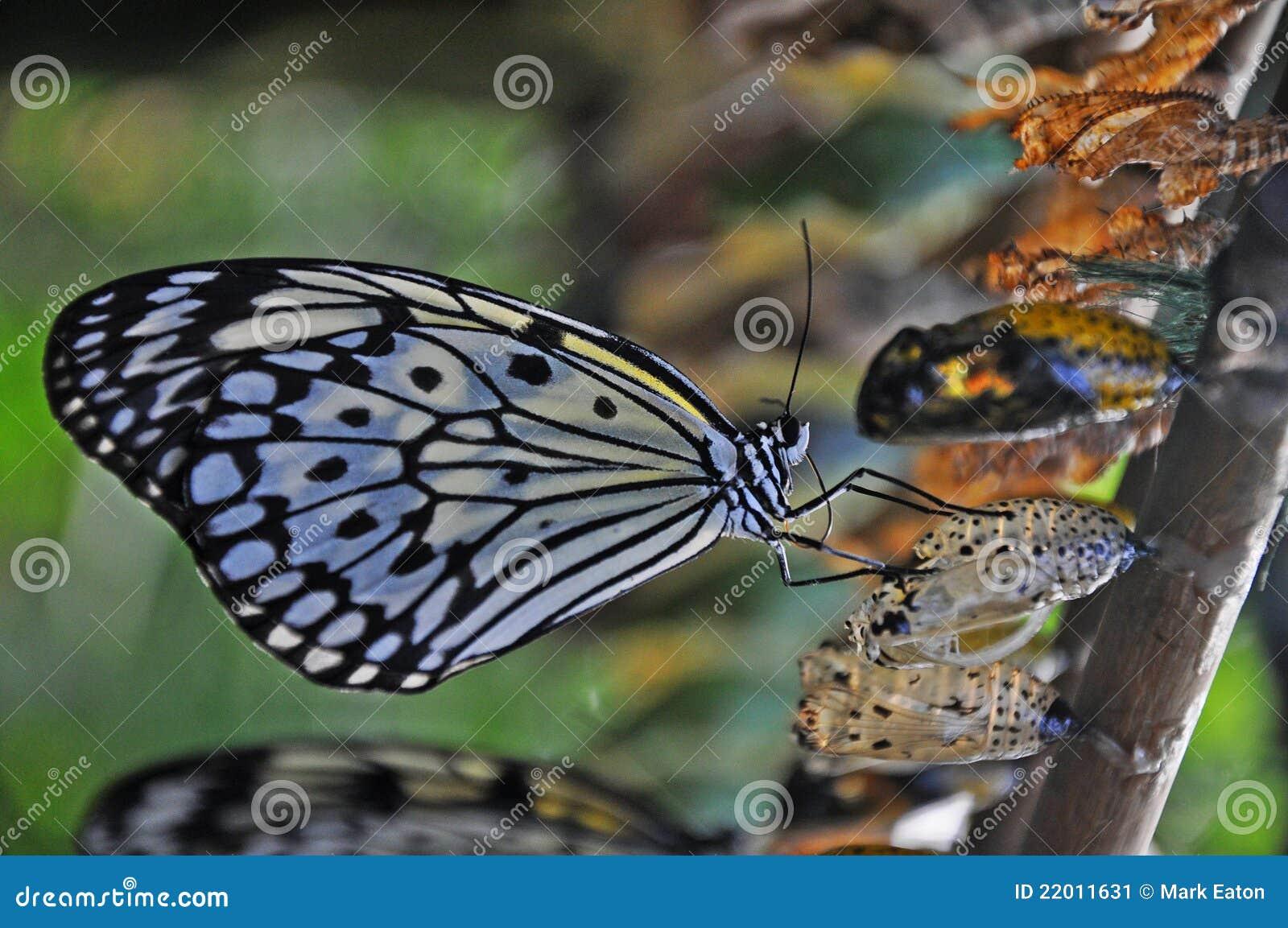Borboleta recentemente chocada de Swallowtail