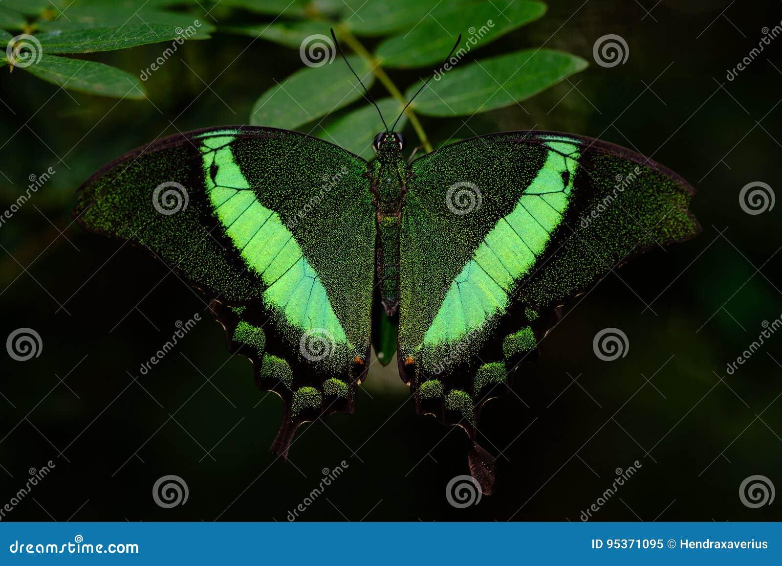 Borboleta unida verde de Swallowtail