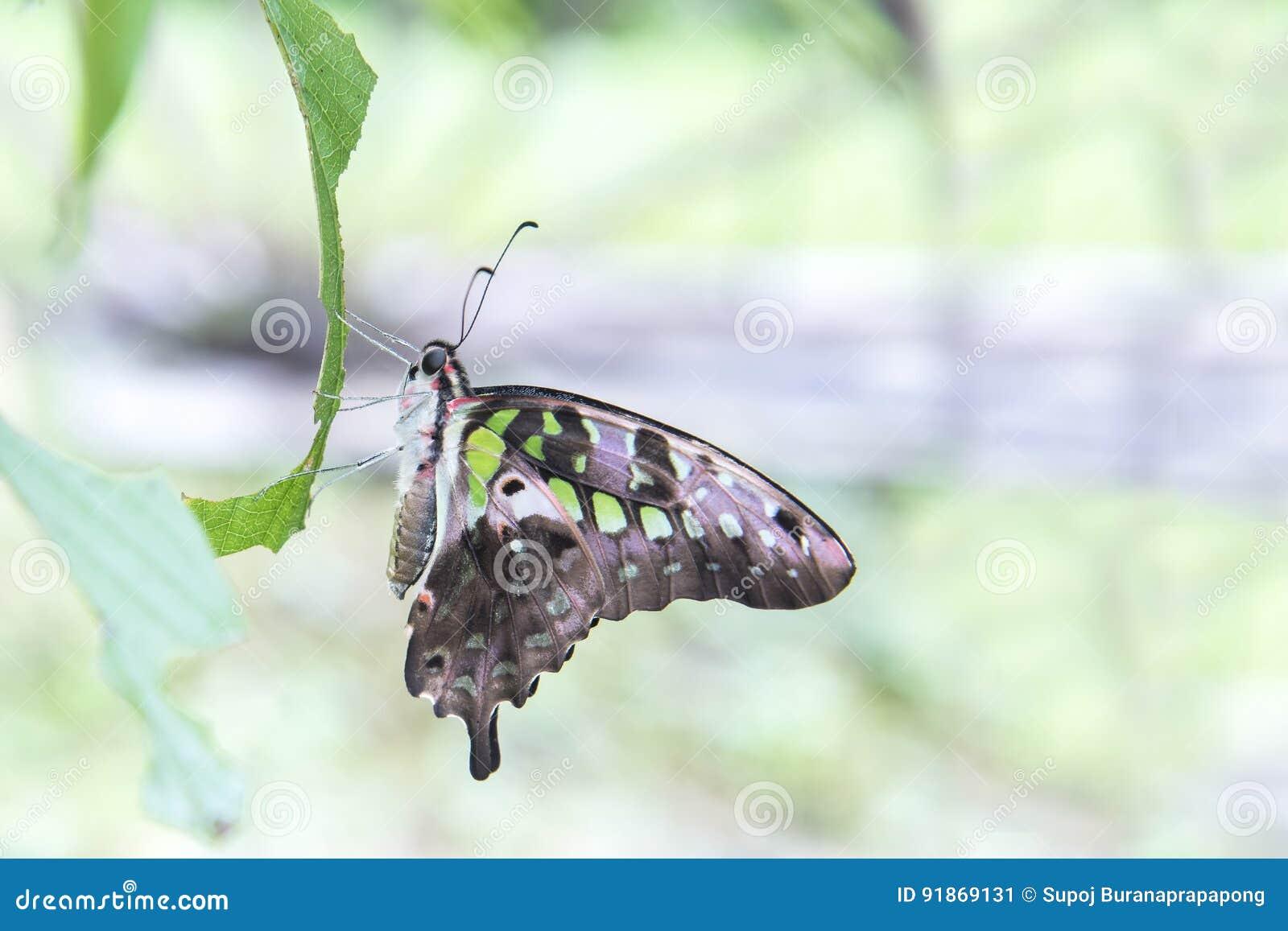 A borboleta verde atou o gaio, agamemnon de Graphium, família Papilio