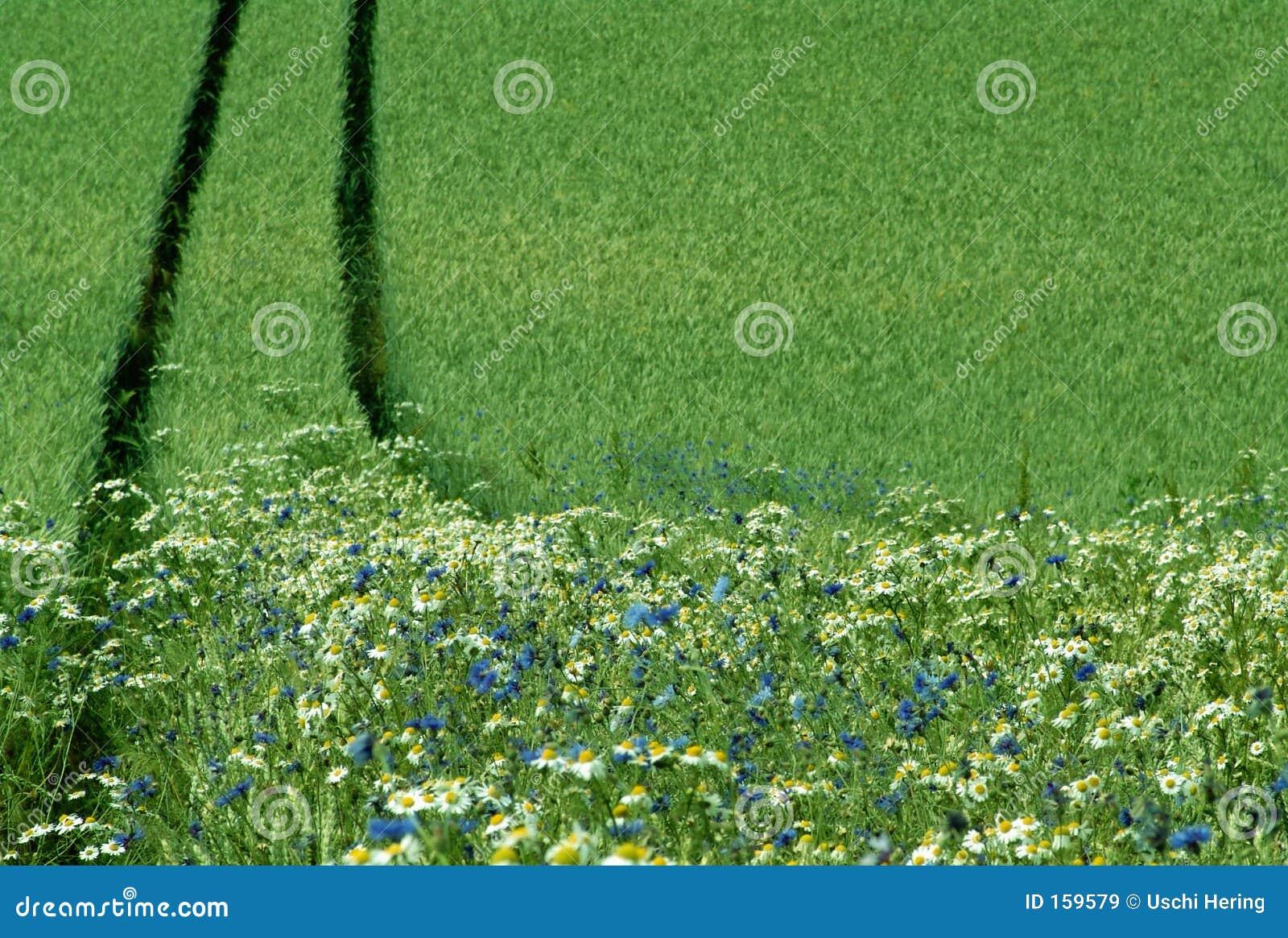 Borde de un campo de la cosecha