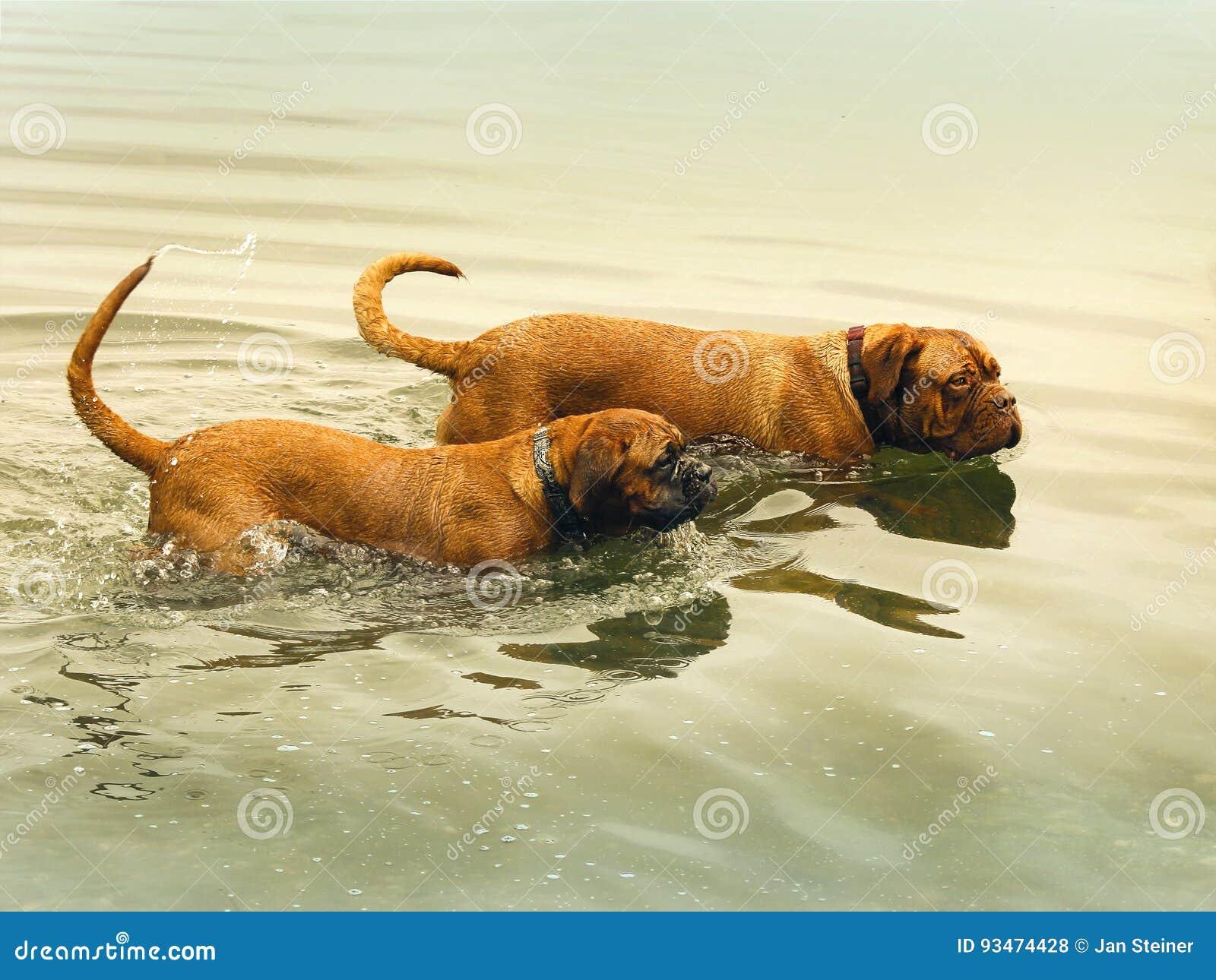Bordeaux Doga Die In Water Spelen Stock Foto Afbeelding