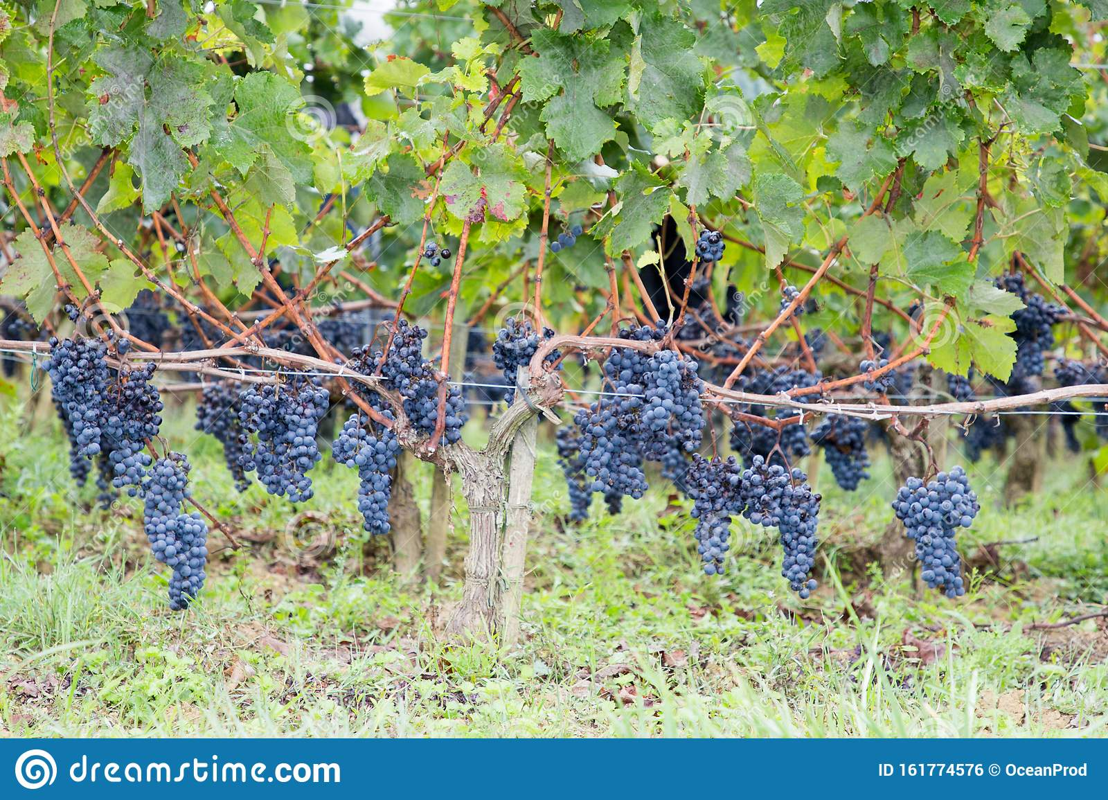 Bordeaux Grapes On Vines In French Vineyard Medoc Stock Photo - Image of  grapevine, beautiful: 161774576