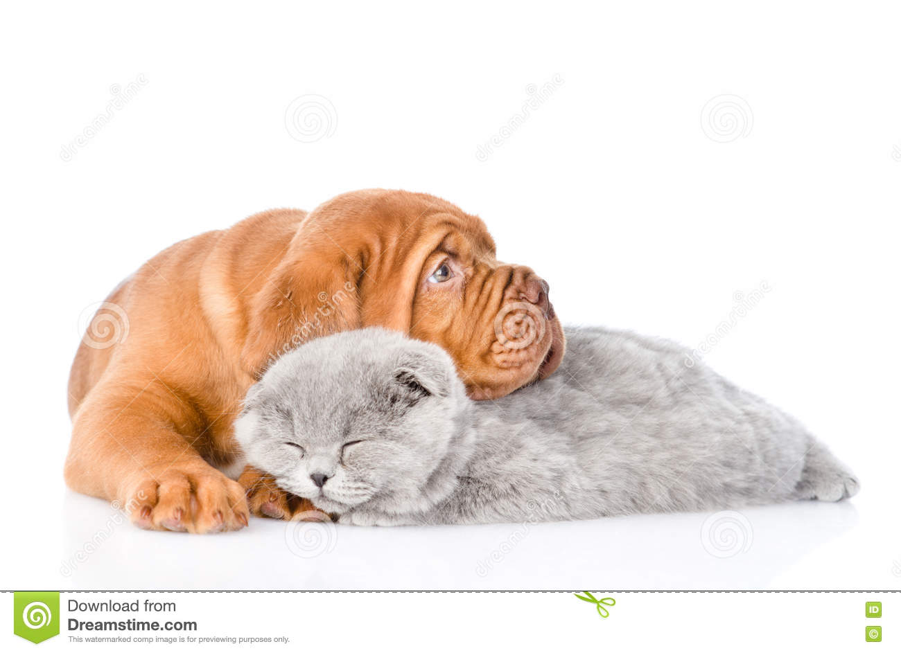Bordeaux puppy lying with sleeping cat. isolated on white