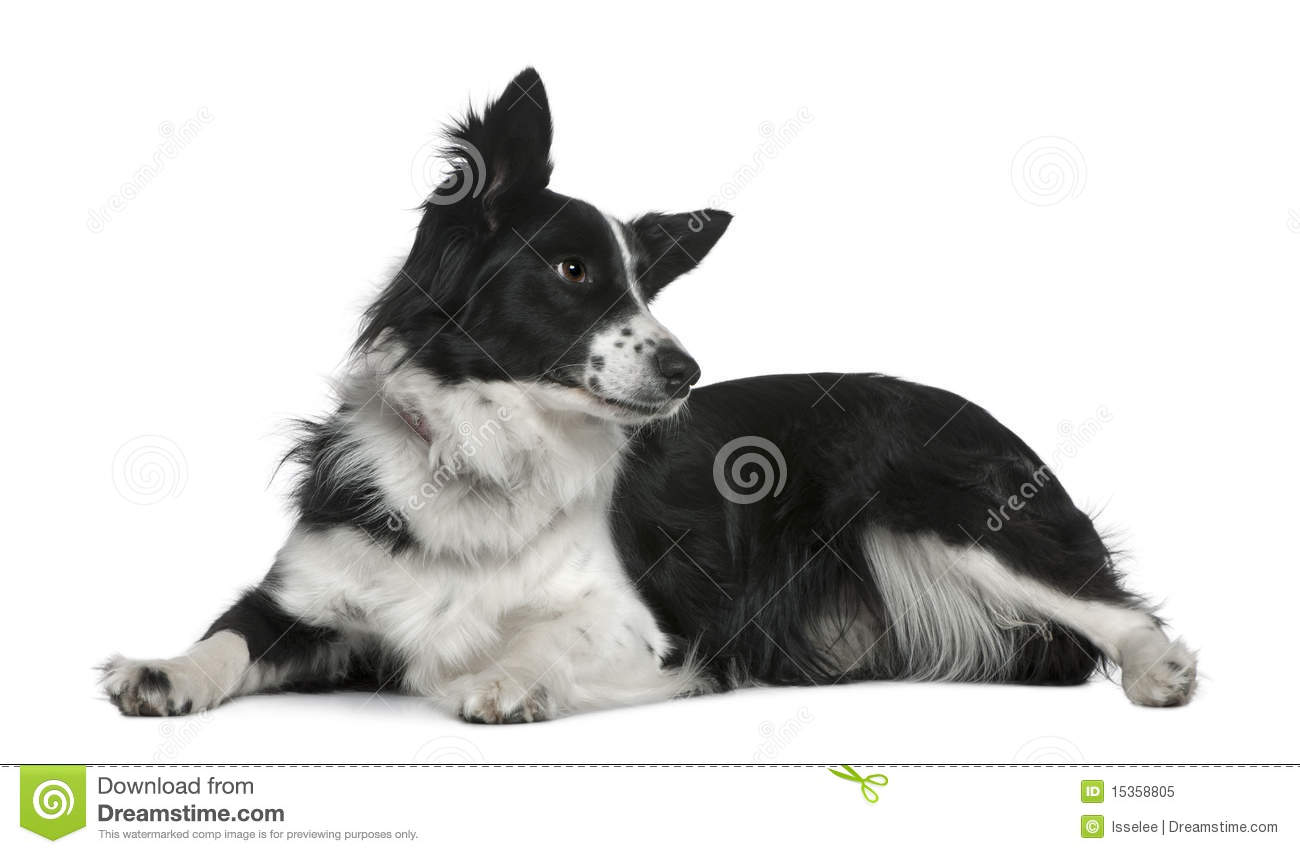 Border collie, 3 years old, lying