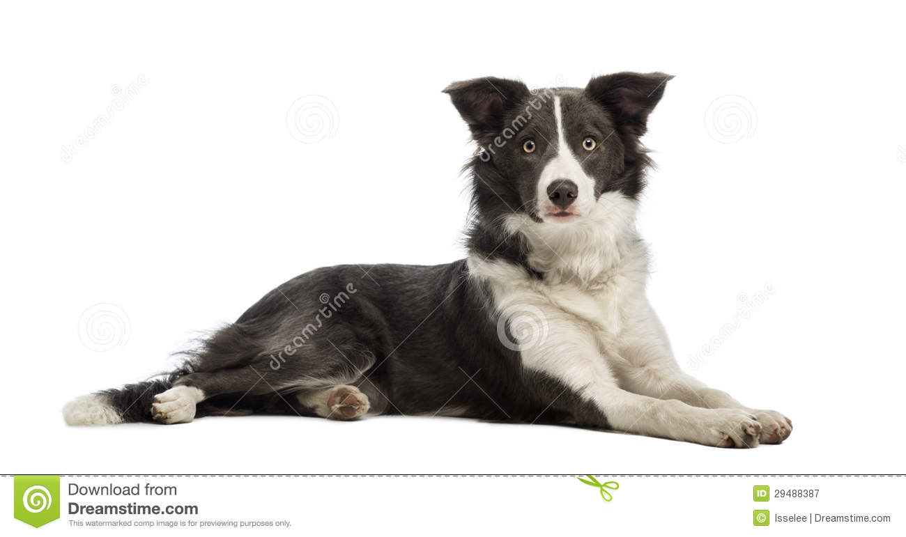 border collie  8 months old  lying and looking at the cartoon border collie clipart border collie clipart for kids