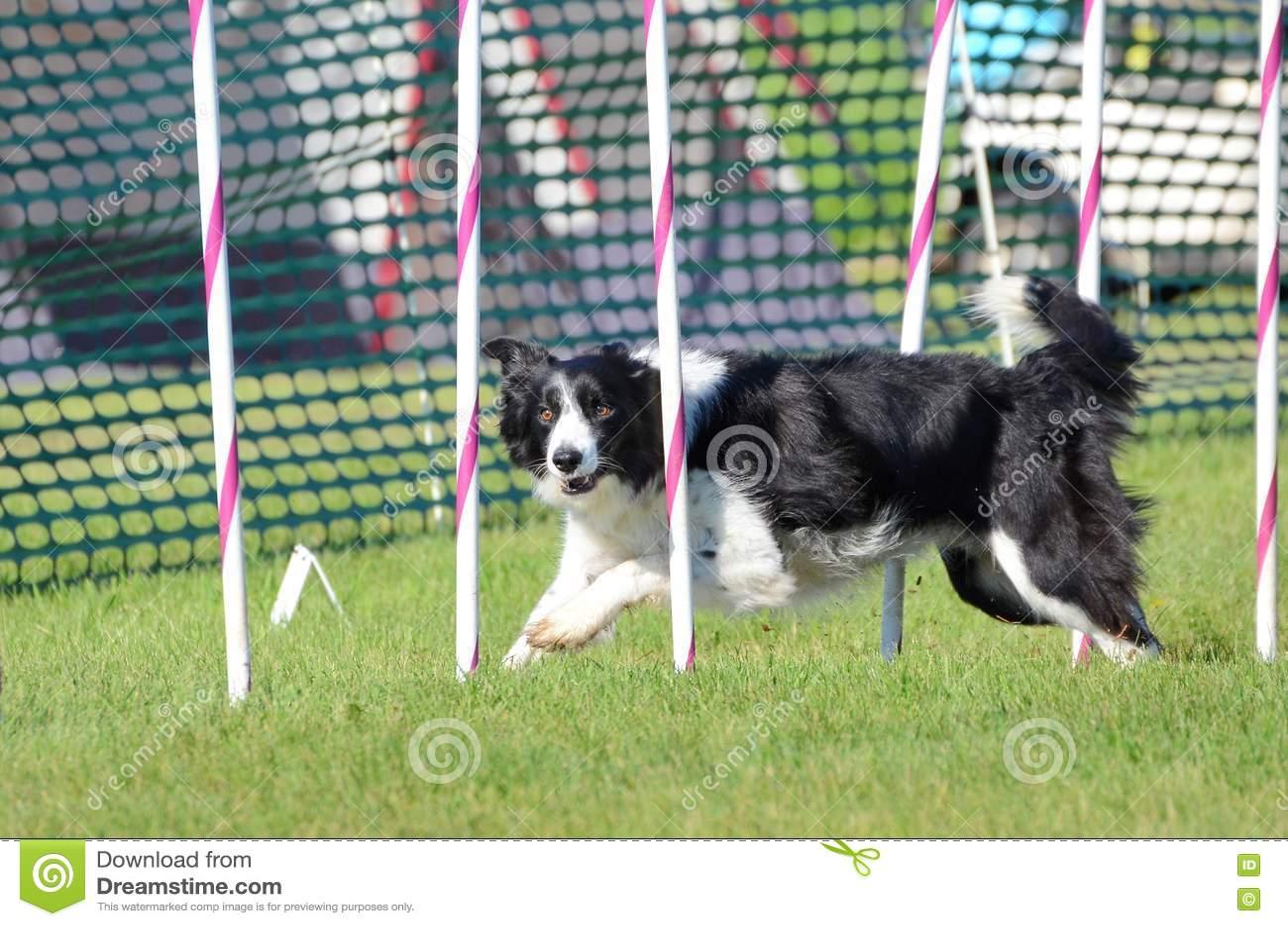 Border collie ad una prova di agilità del cane