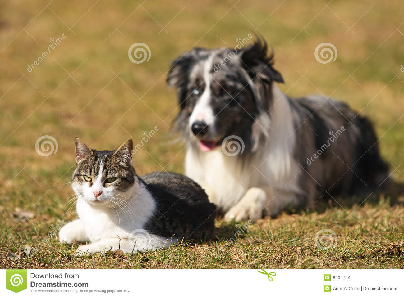 Border Collie Behind A Cat Stock Images - Image: 8909794