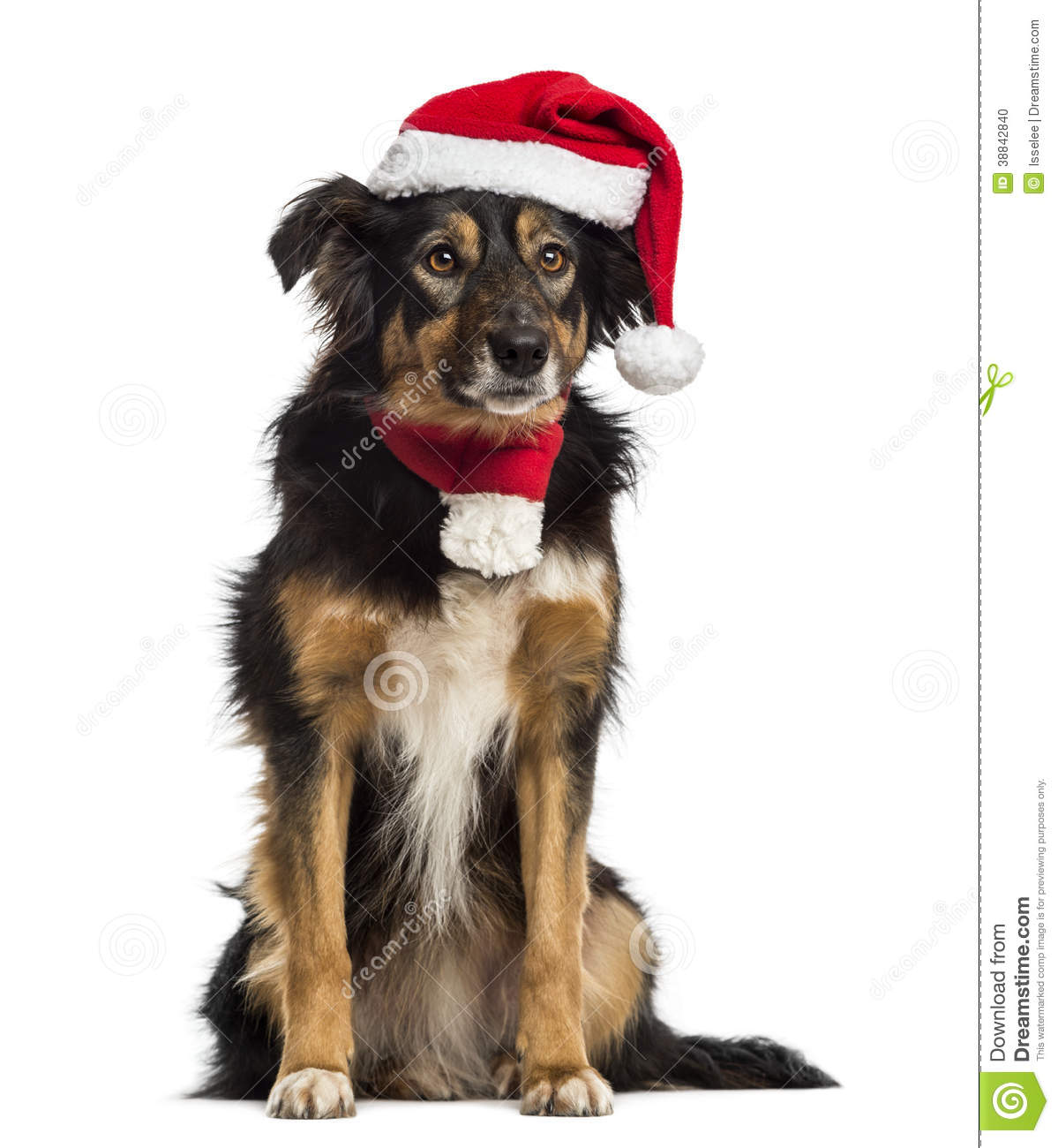 Border collie with christmas hat and scarf