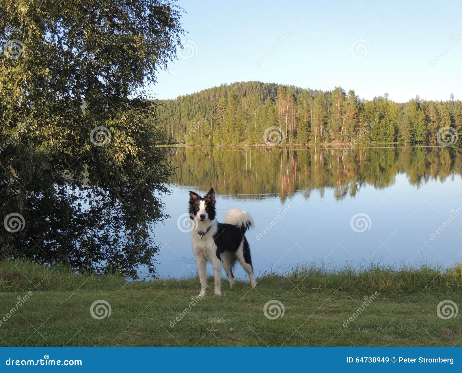 Border collie dal lago