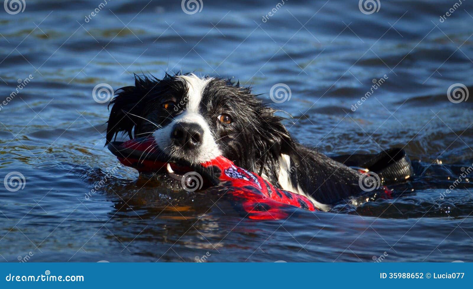 Border collie de la natación