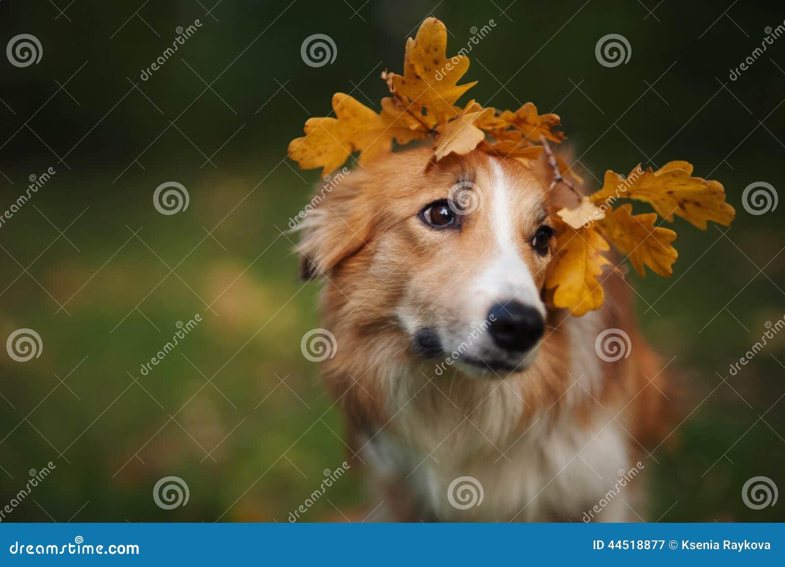 Border collie debajo de las hojas del amarillo en otoño