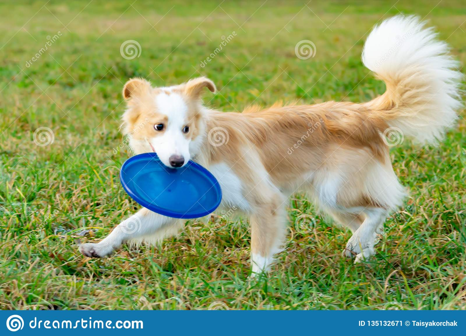 Border collie. The dog catches the frisbee on the fly. The pet plays with its owner.