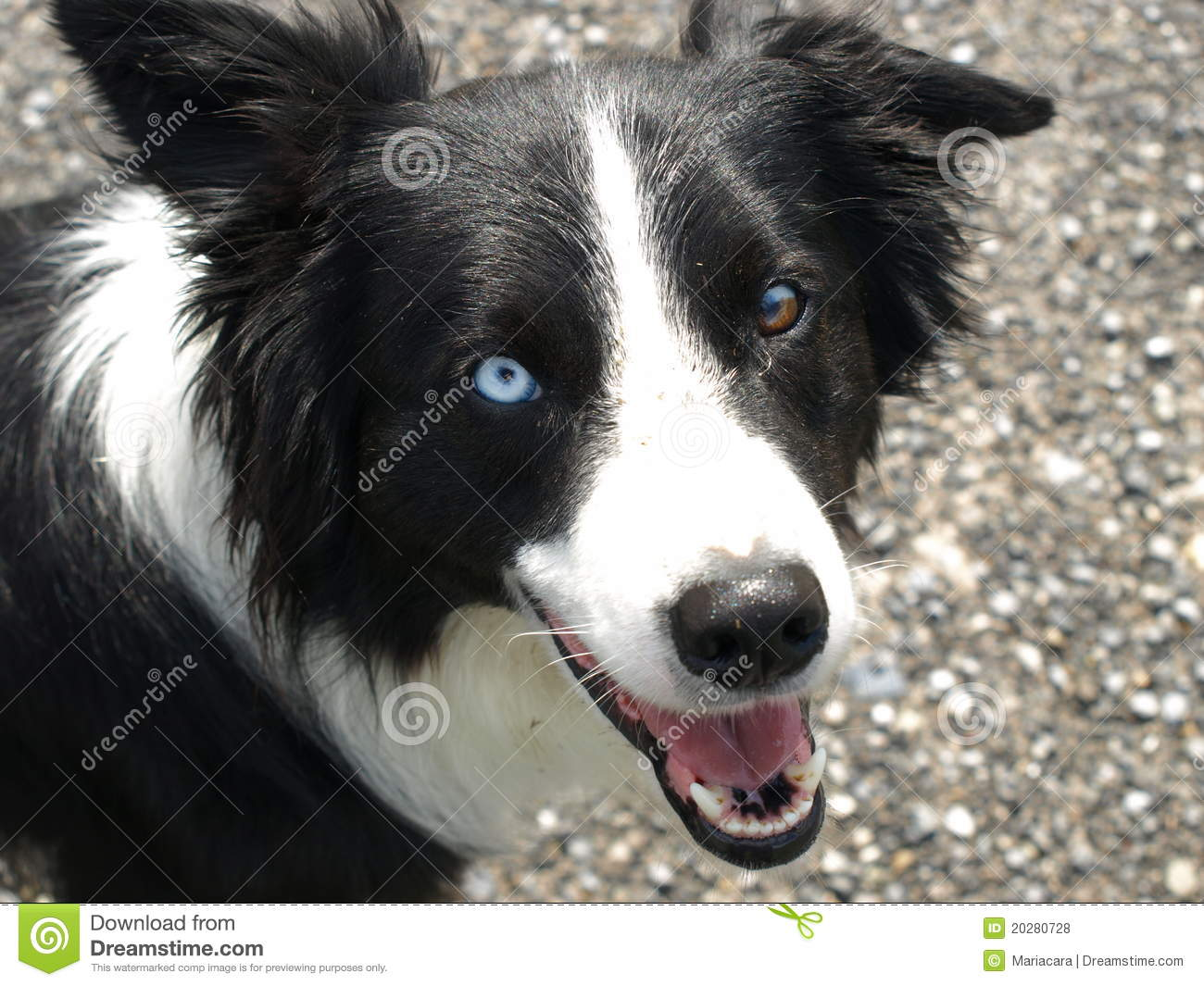 Border collie dog with different eye color stock photo image of border collie dog with different eye color nvjuhfo Choice Image