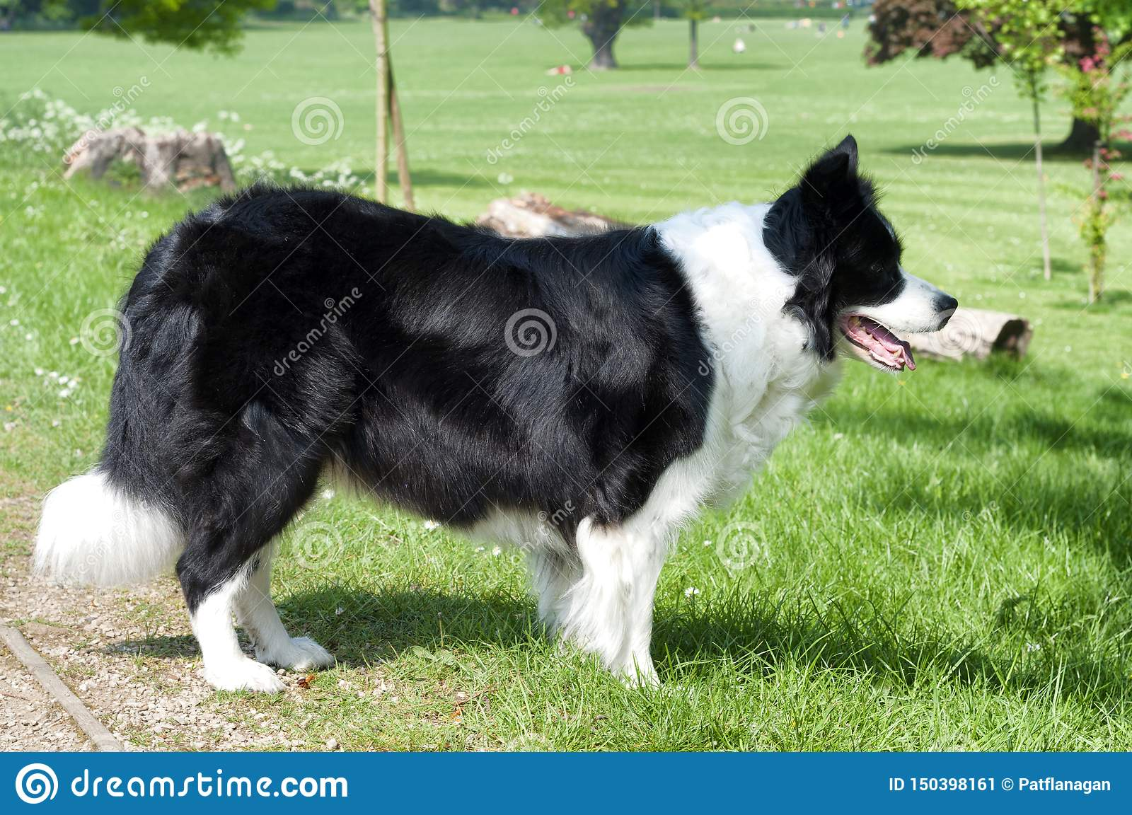 A border collie dog in a green field
