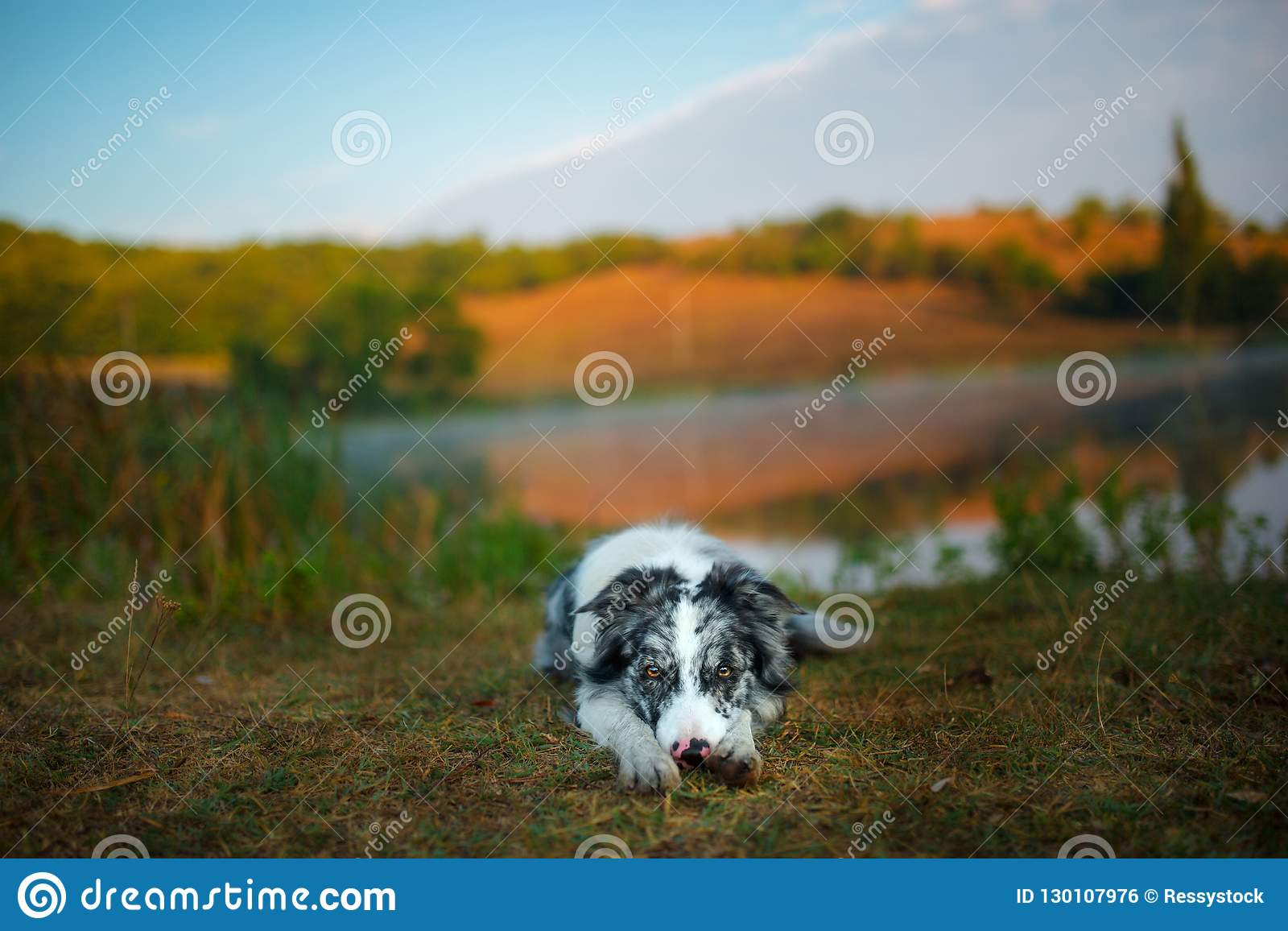 Border collie dog lies on the shore of the lake