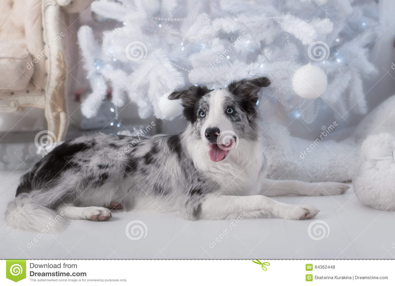 Border collie dog lying down on white Christmas
