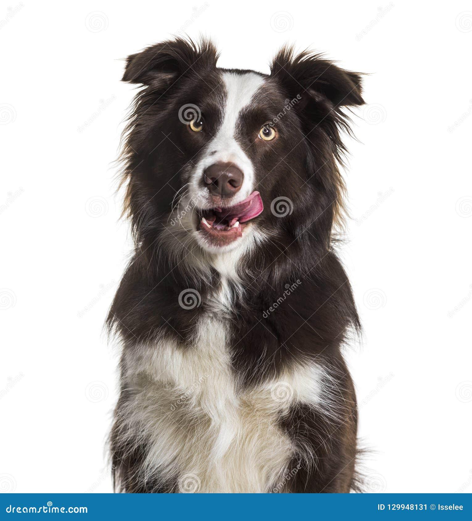 Border collie lick puppy