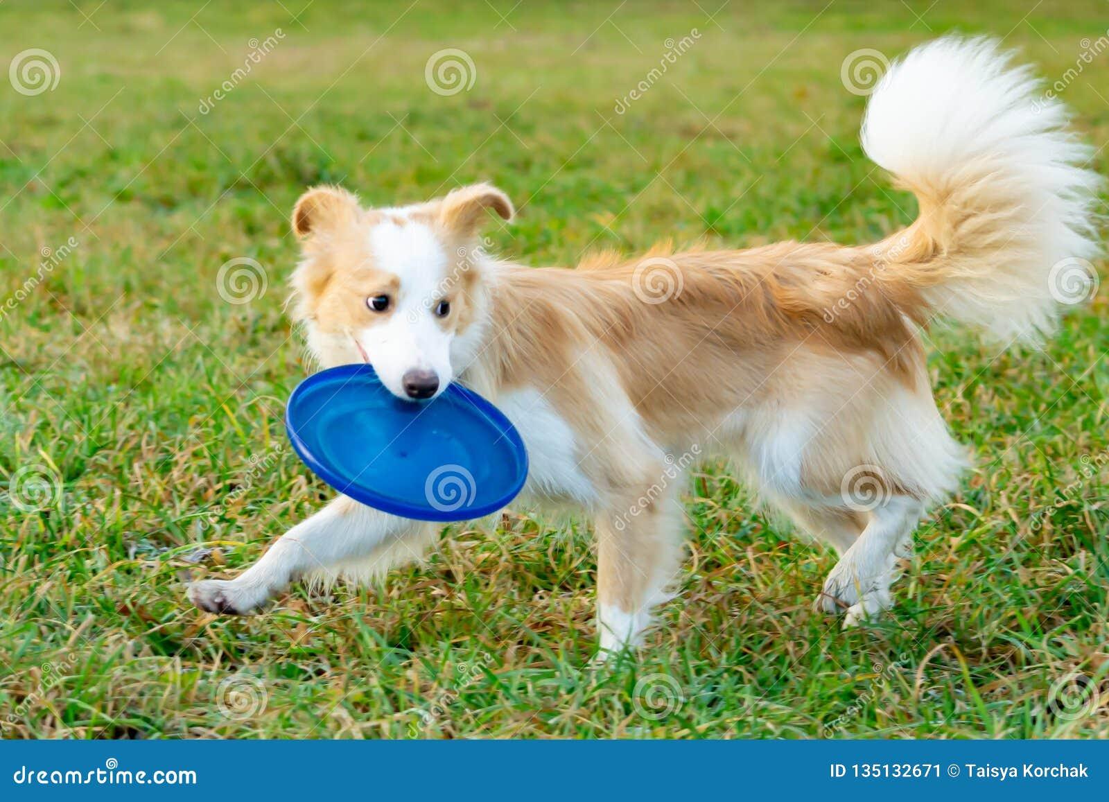 Border collie El perro coge el disco volador simultáneamente El animal doméstico juega con su dueño