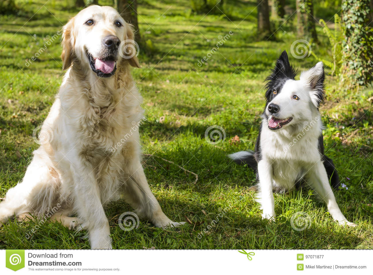 border collie and golden retriever in the bush stock image image
