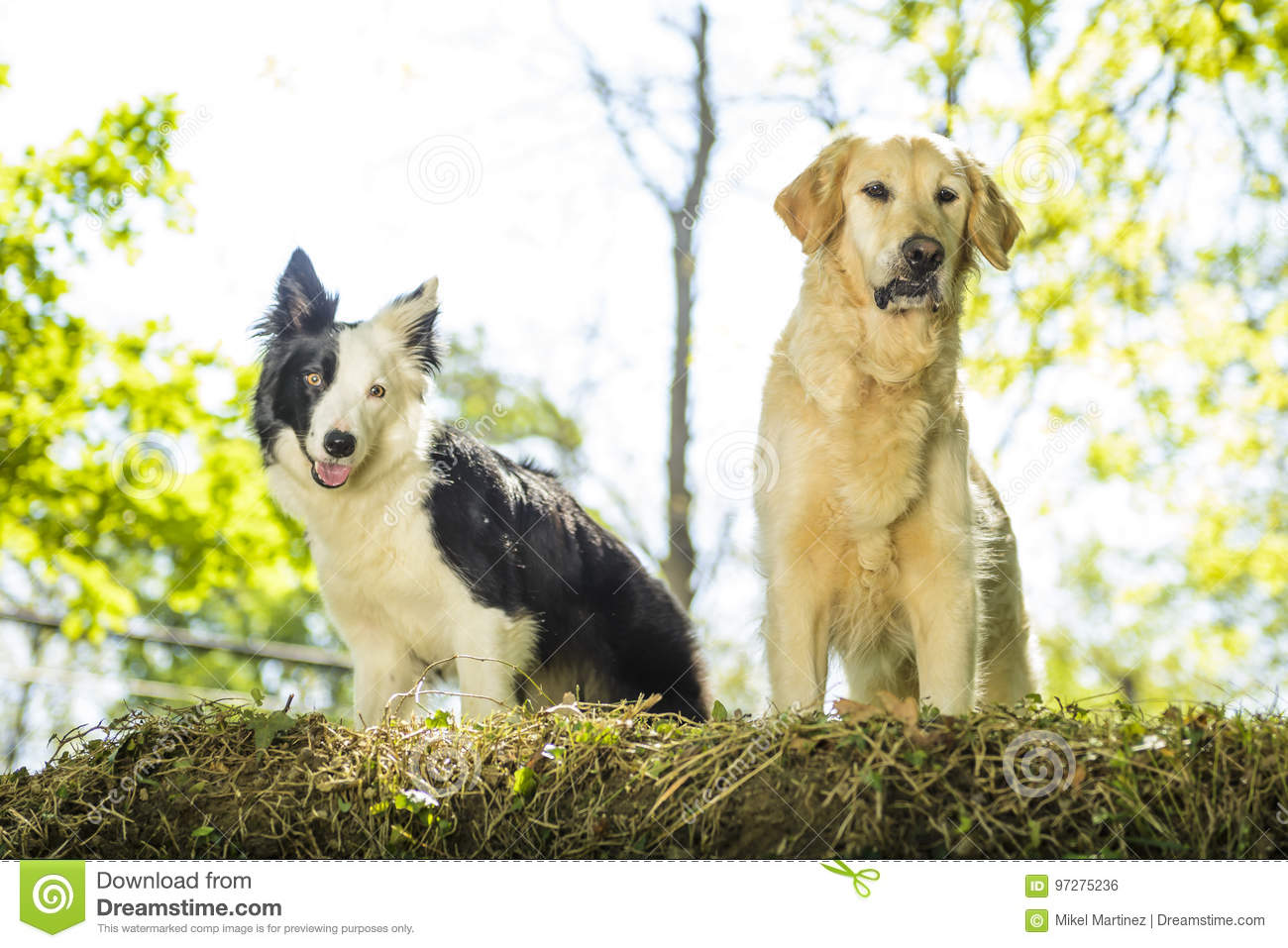 border collie and golden retriever in the bush stock photo image