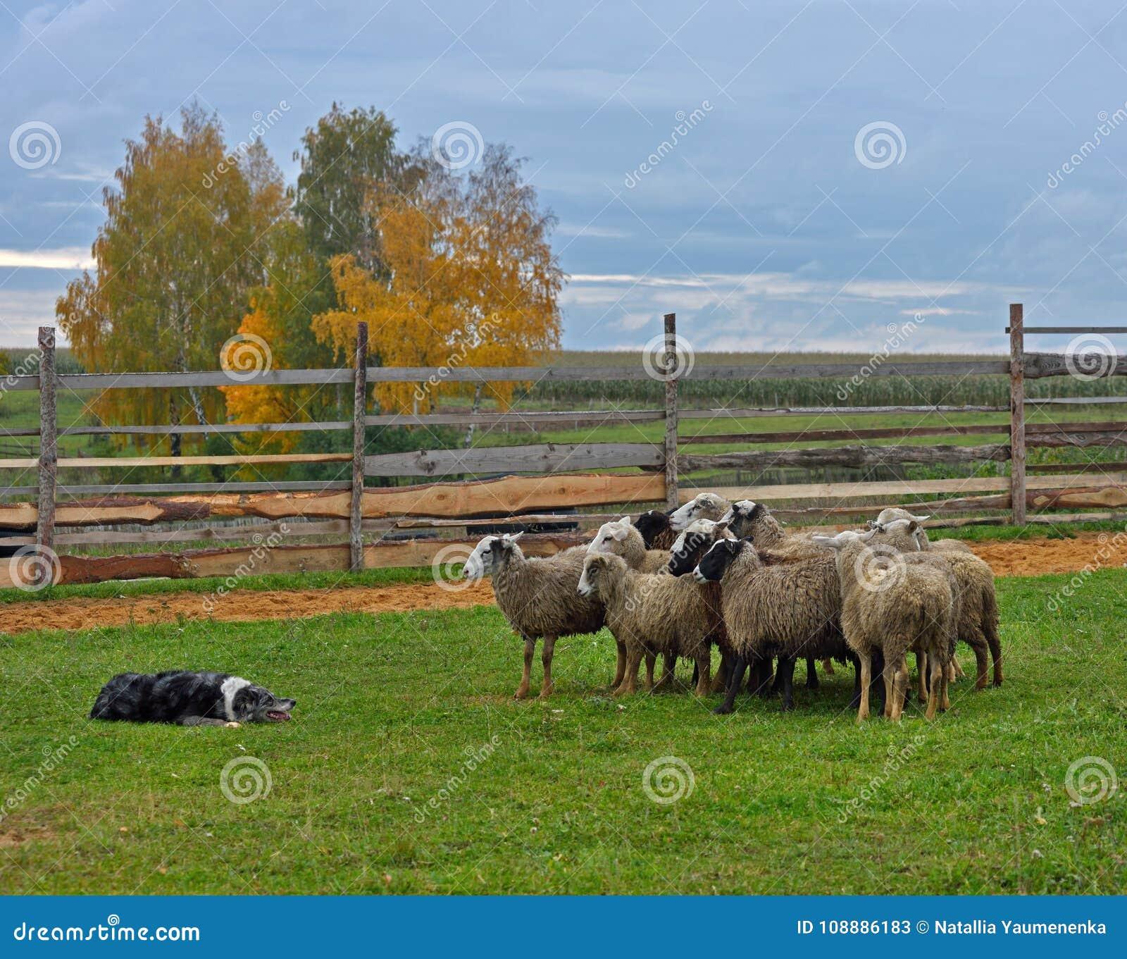 Border collie-In Herden leben