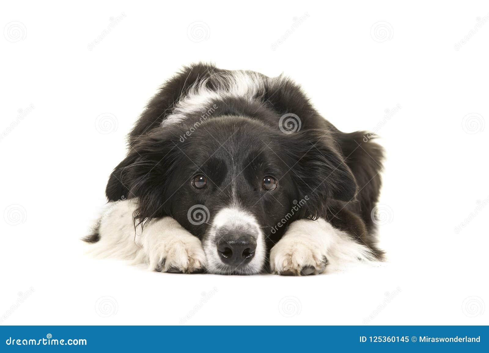 Border collie-hond die met zijn hoofd op vloer het kijken liggen