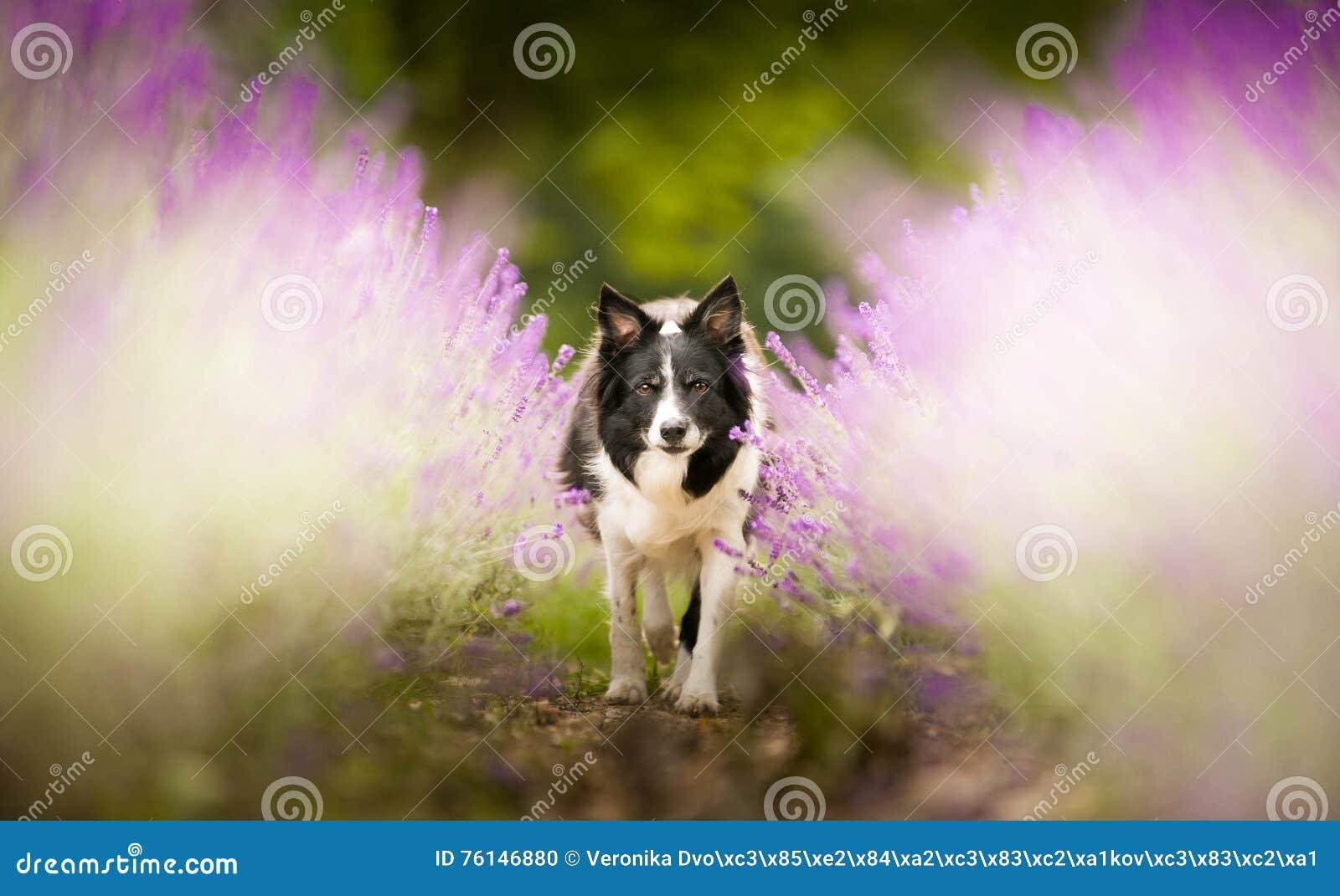Border collie im Lavendel