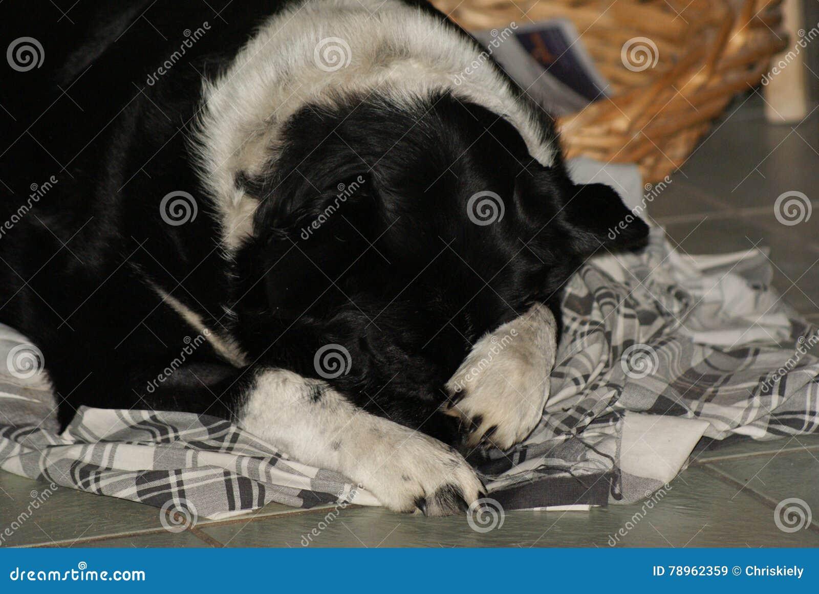 Border Collie Kelpie Pet Sleeping