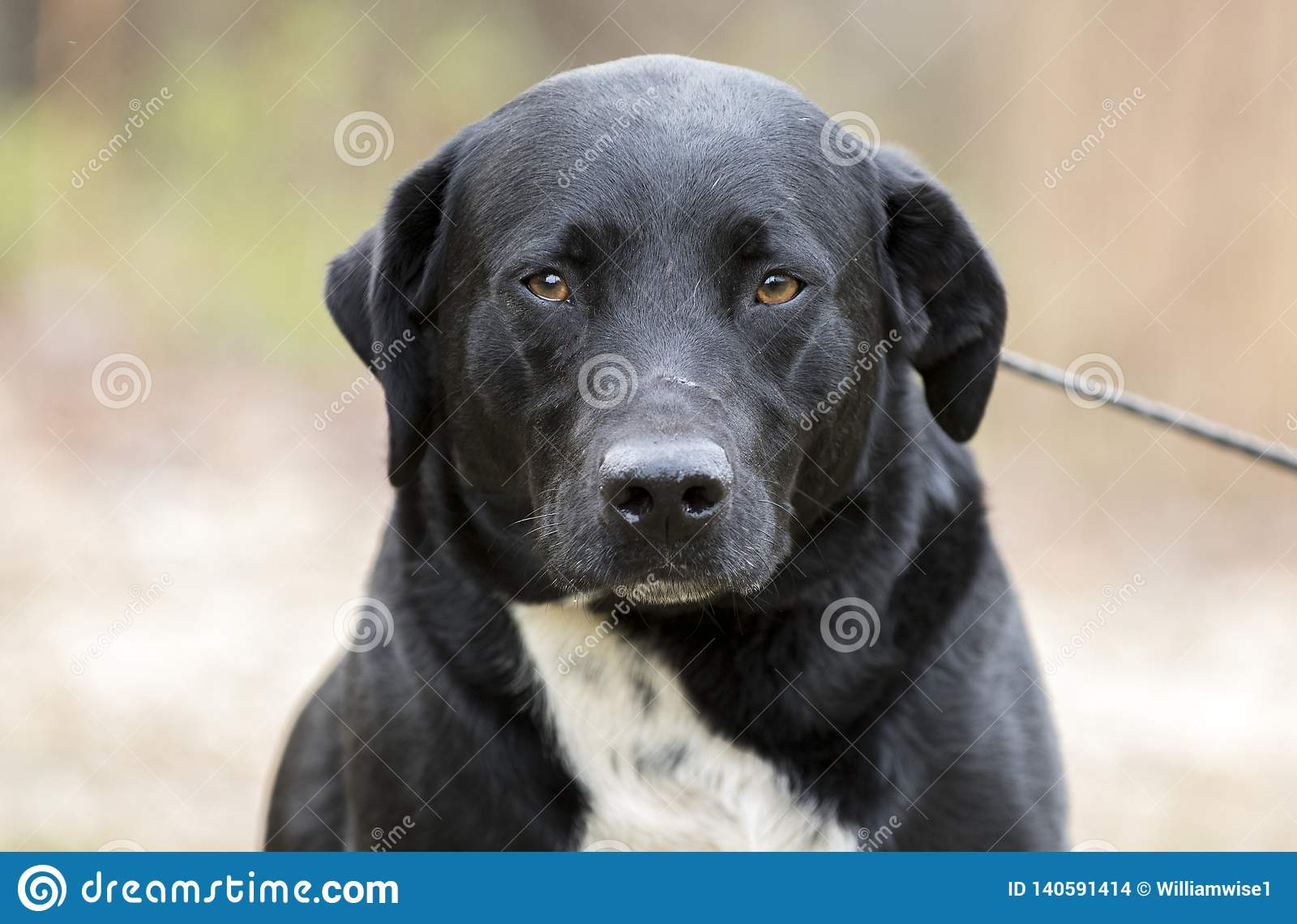 Border Collie Labrador Retriever Mixed Breed Dog Stock Photo