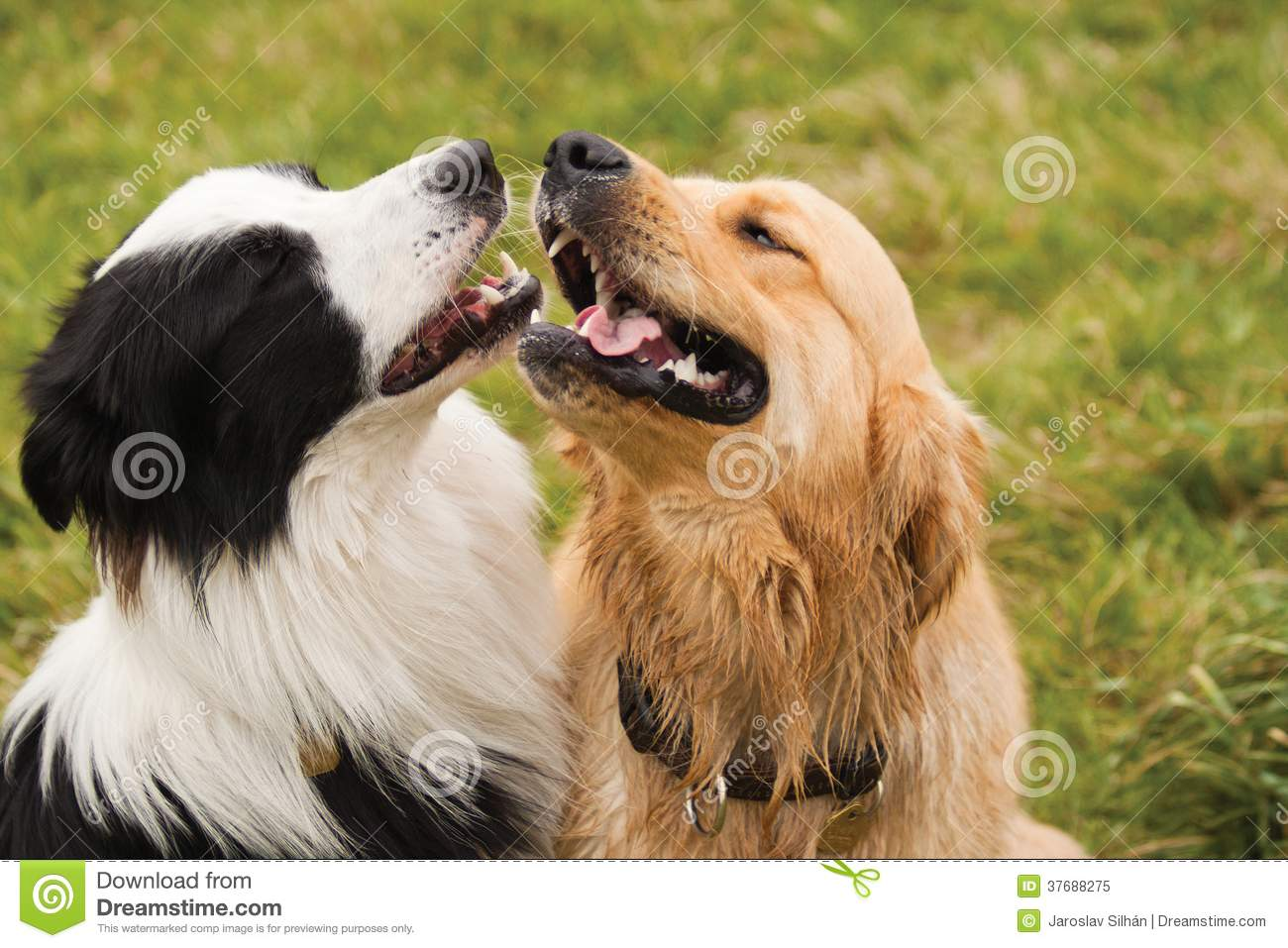 border collie in love with golden retriever stock image image of