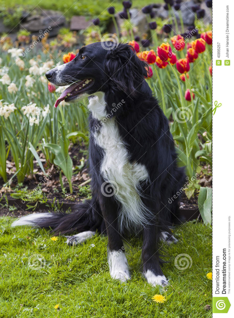 Border Collie Mix In Front Of Tulips Stock Image Image Of Cross
