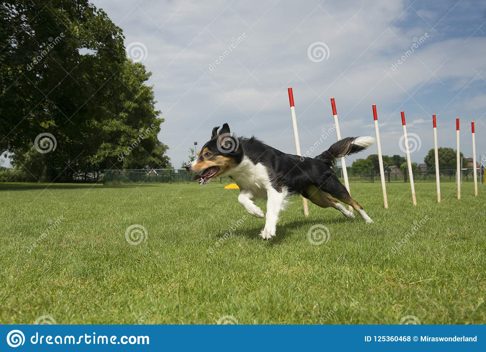 Border Collie Mix Running Through Agility Weave Poles On A