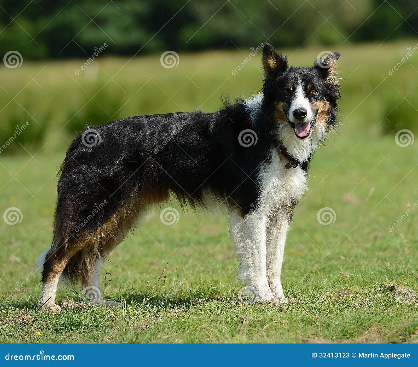 Border collie oder Schäferhund