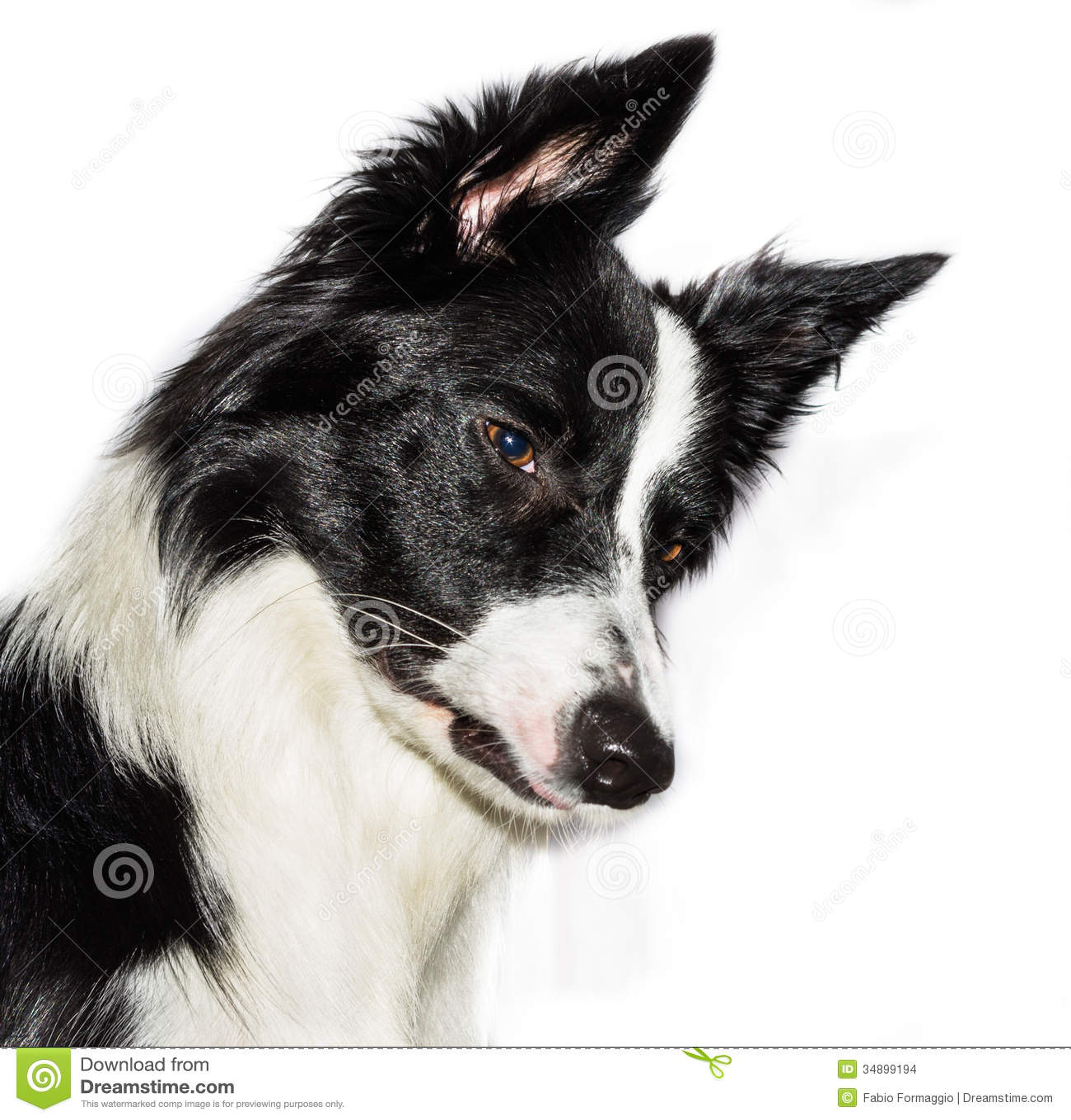 Border Collie Puppie Stock Photo Image Of Black Furry