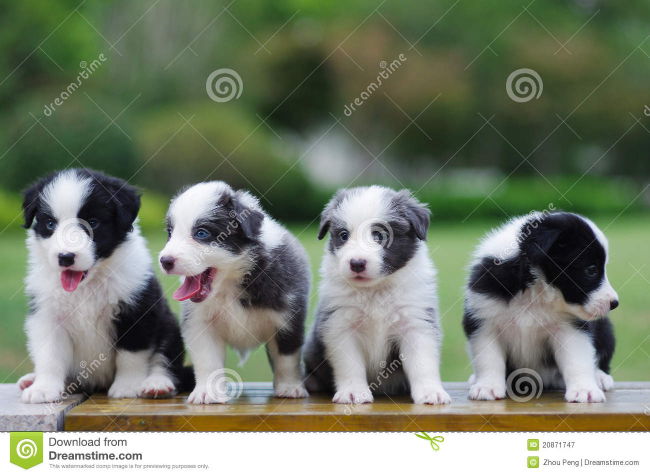 Border Collie Puppy Royalty Free Stock Photography - Image: 20871747