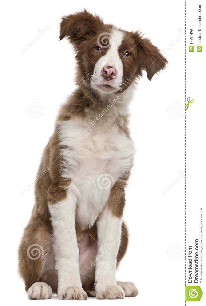 Border Collie Puppy 5 Months Old Sitting Stock Photo Image Of Canine Mammal 17597498
