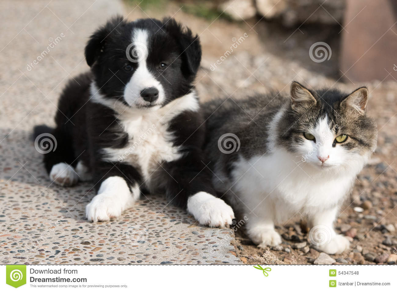 Border collie puppy dog portrait with a cat