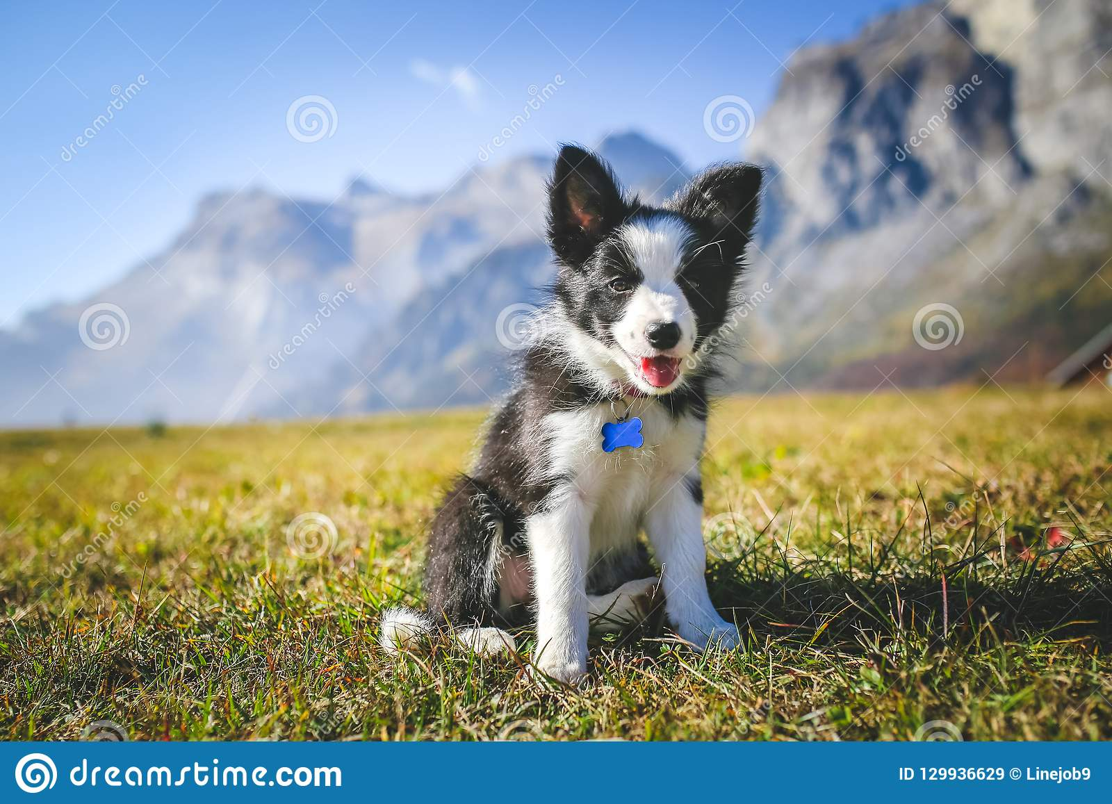 Border collie puppy on a field