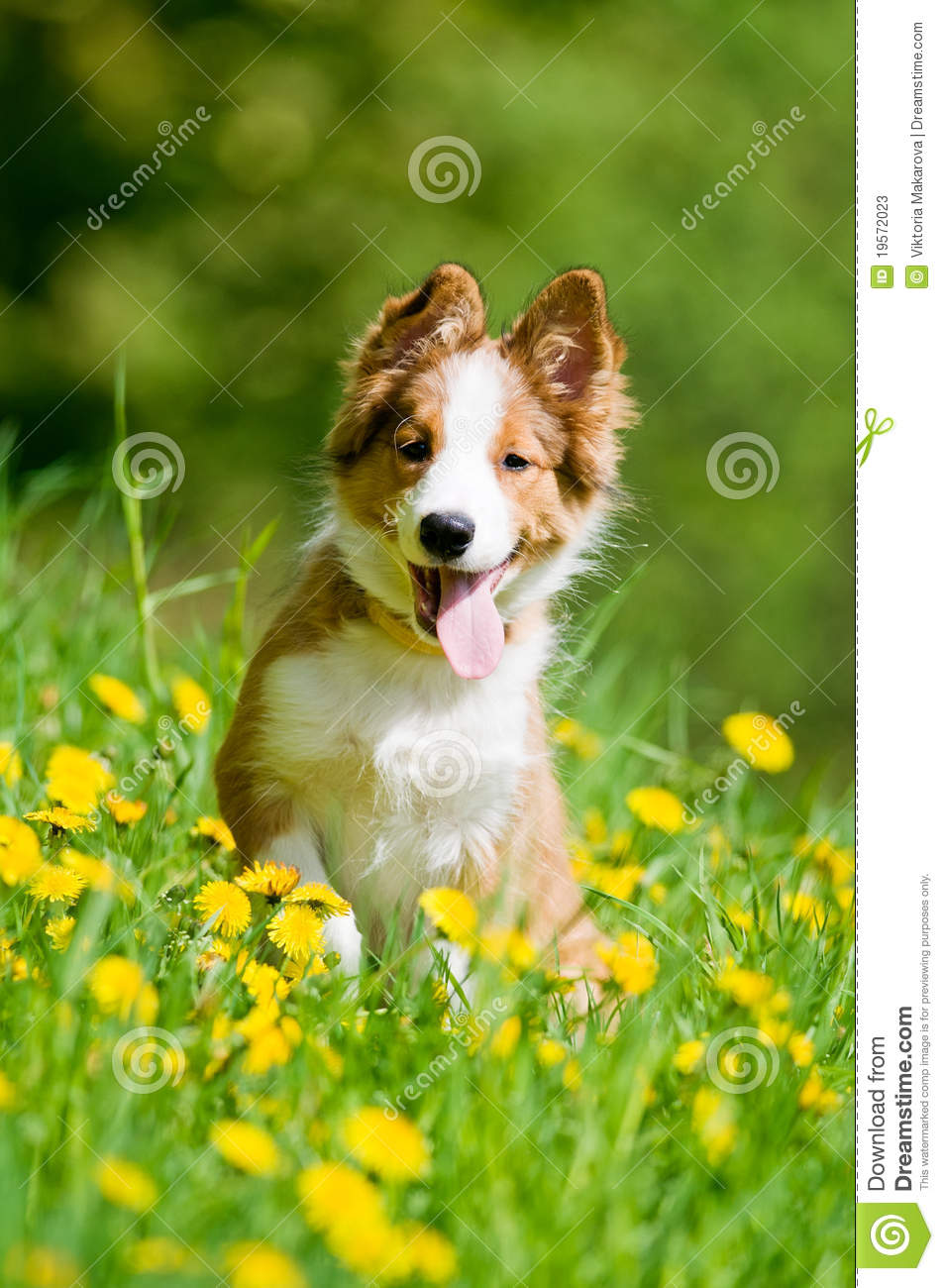 border collie puppy in flowers stock image image 19572023