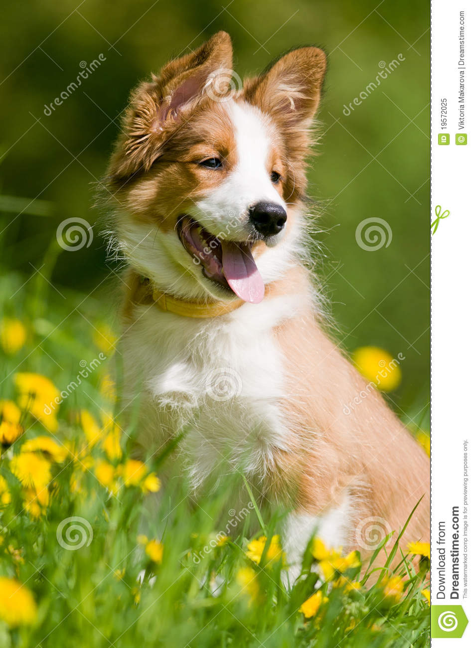 Border Collie Puppy In Flowers Royalty Free Stock Photo ... Cute Puppies