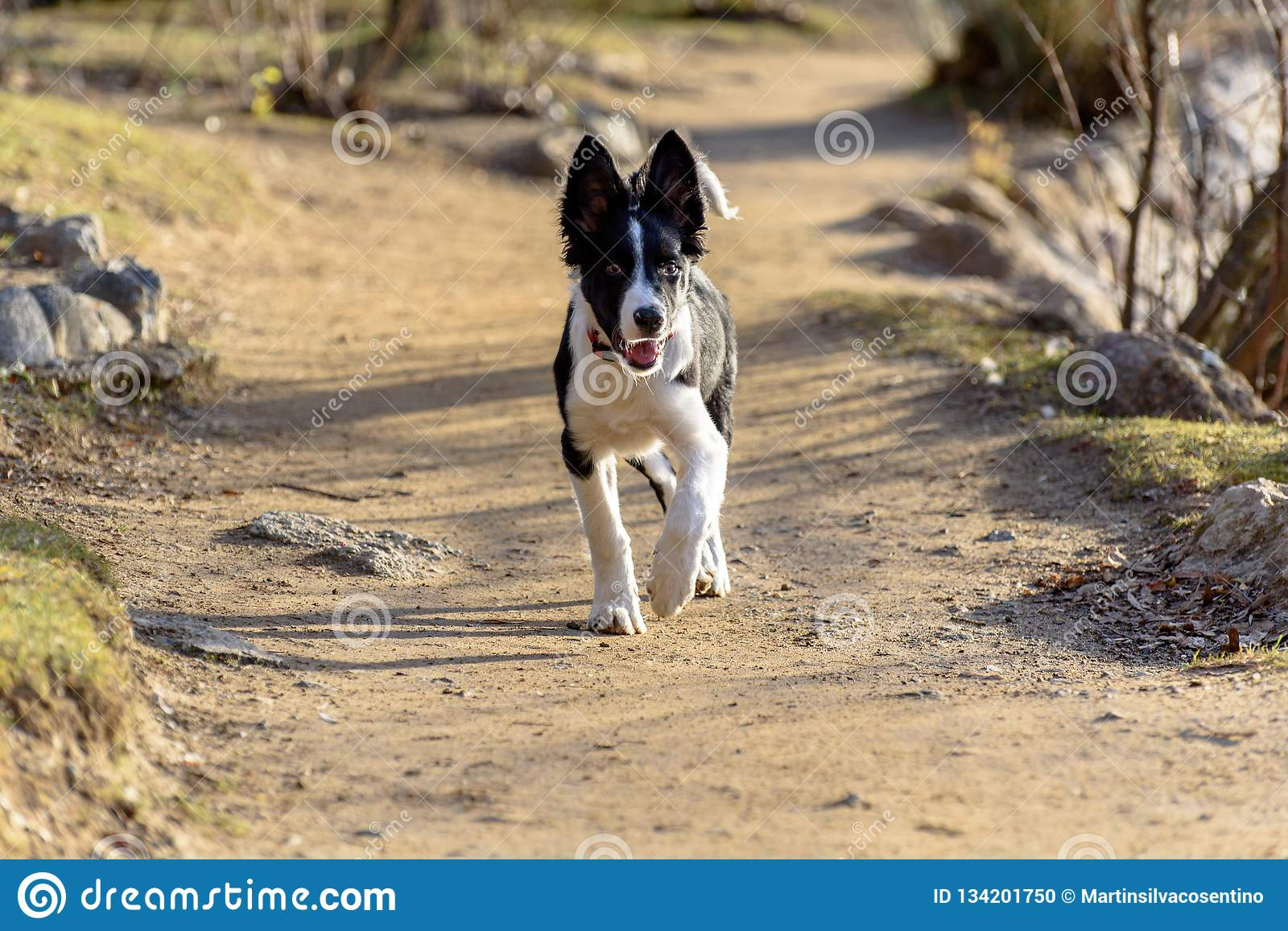 Border Collie Puppy in the Lake in the Schierbeck Park